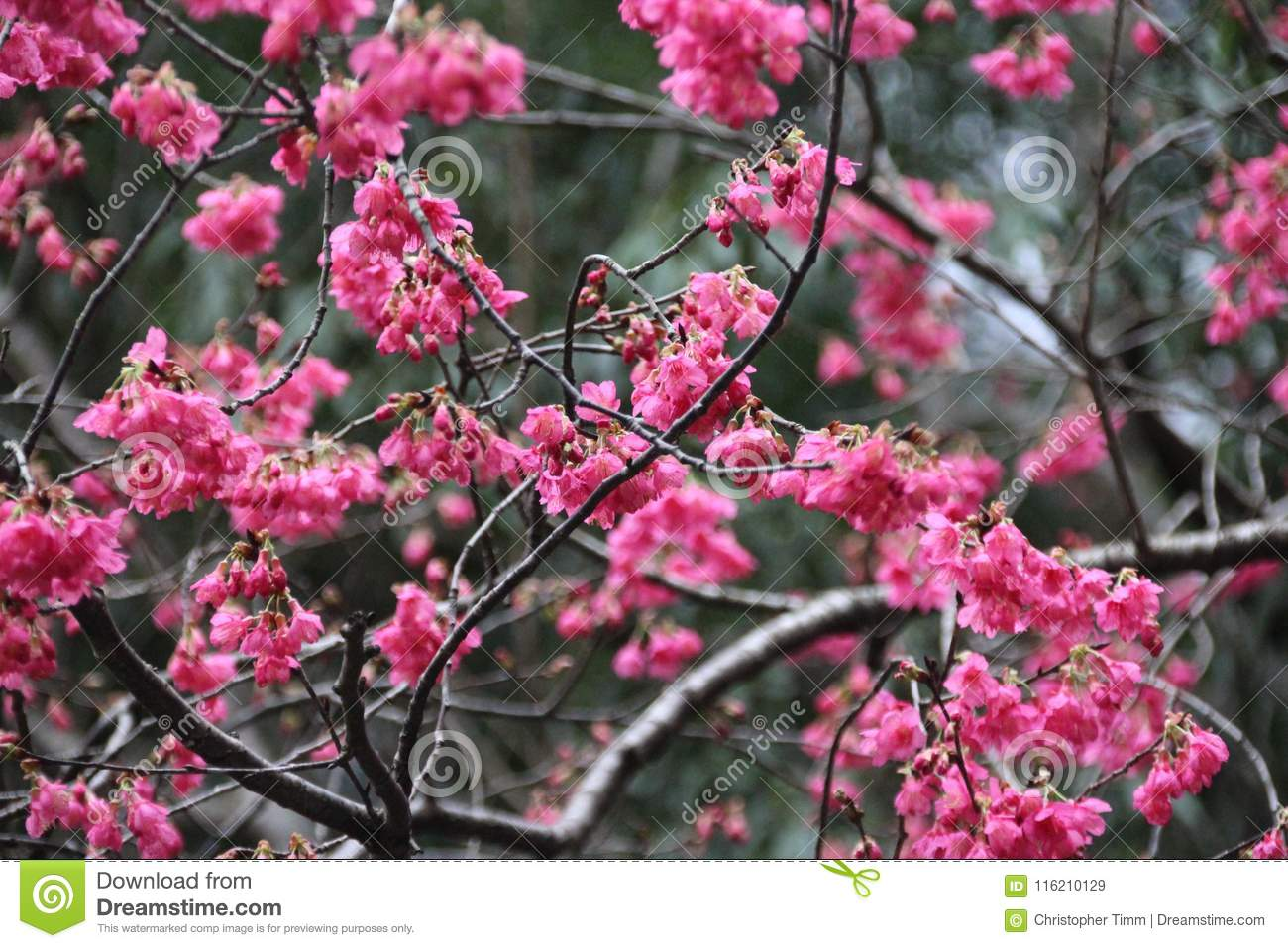 Japanese Cherry Blossom Whose Pink Flowers Stock Image Image Of