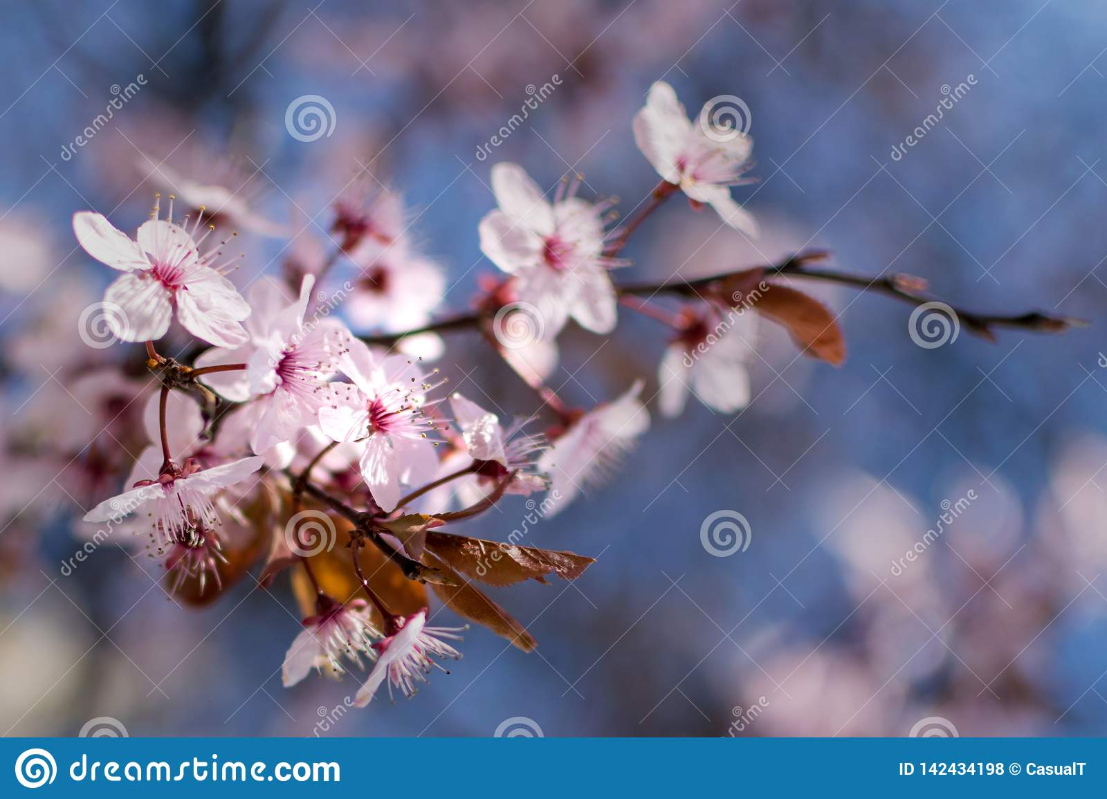 Japanese cherry blossoms against a light blue bokeh background, close-up