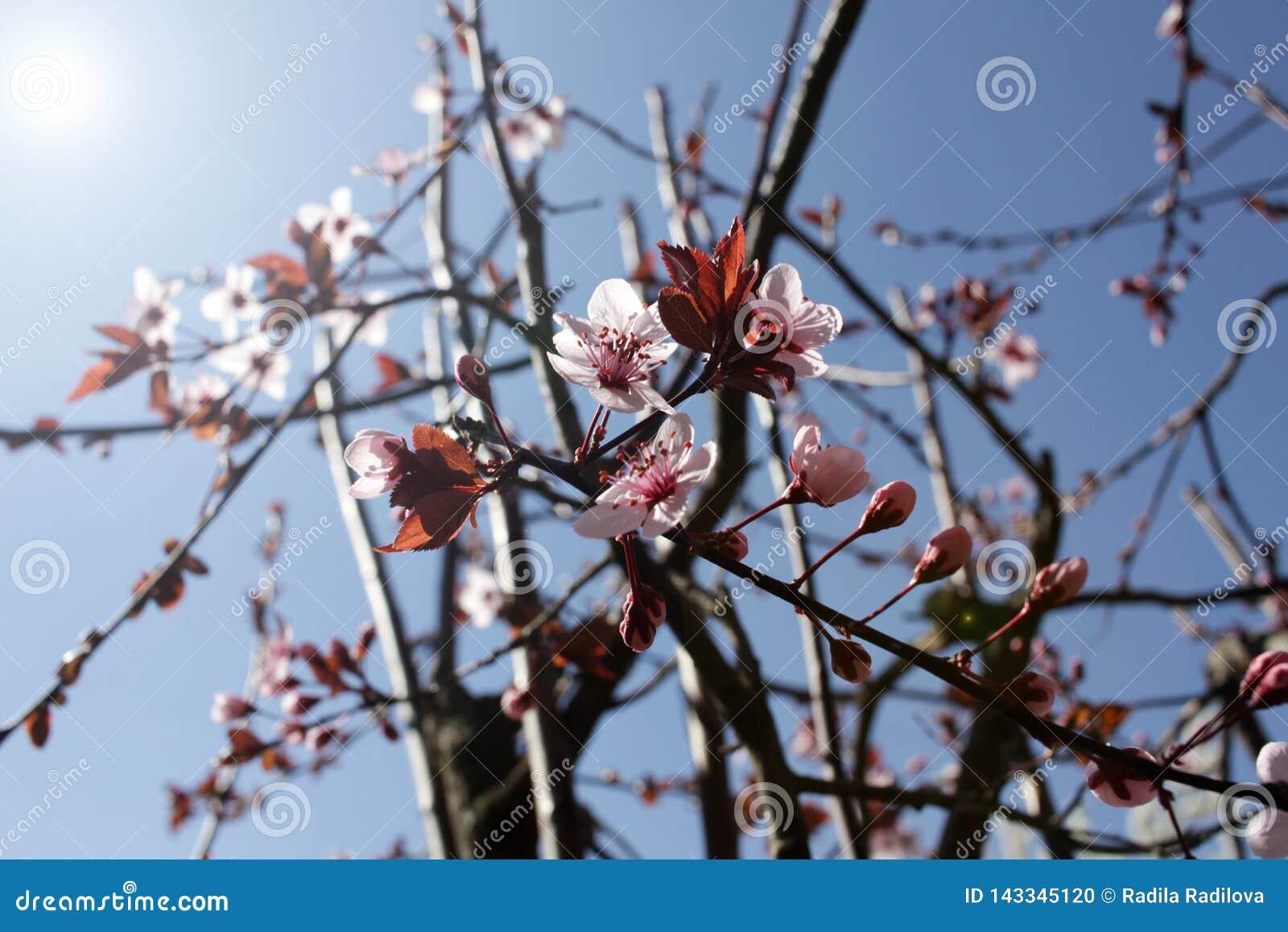 Japanese Cherry Blossoms Sakura Or Prunus Serrulata Kanzan