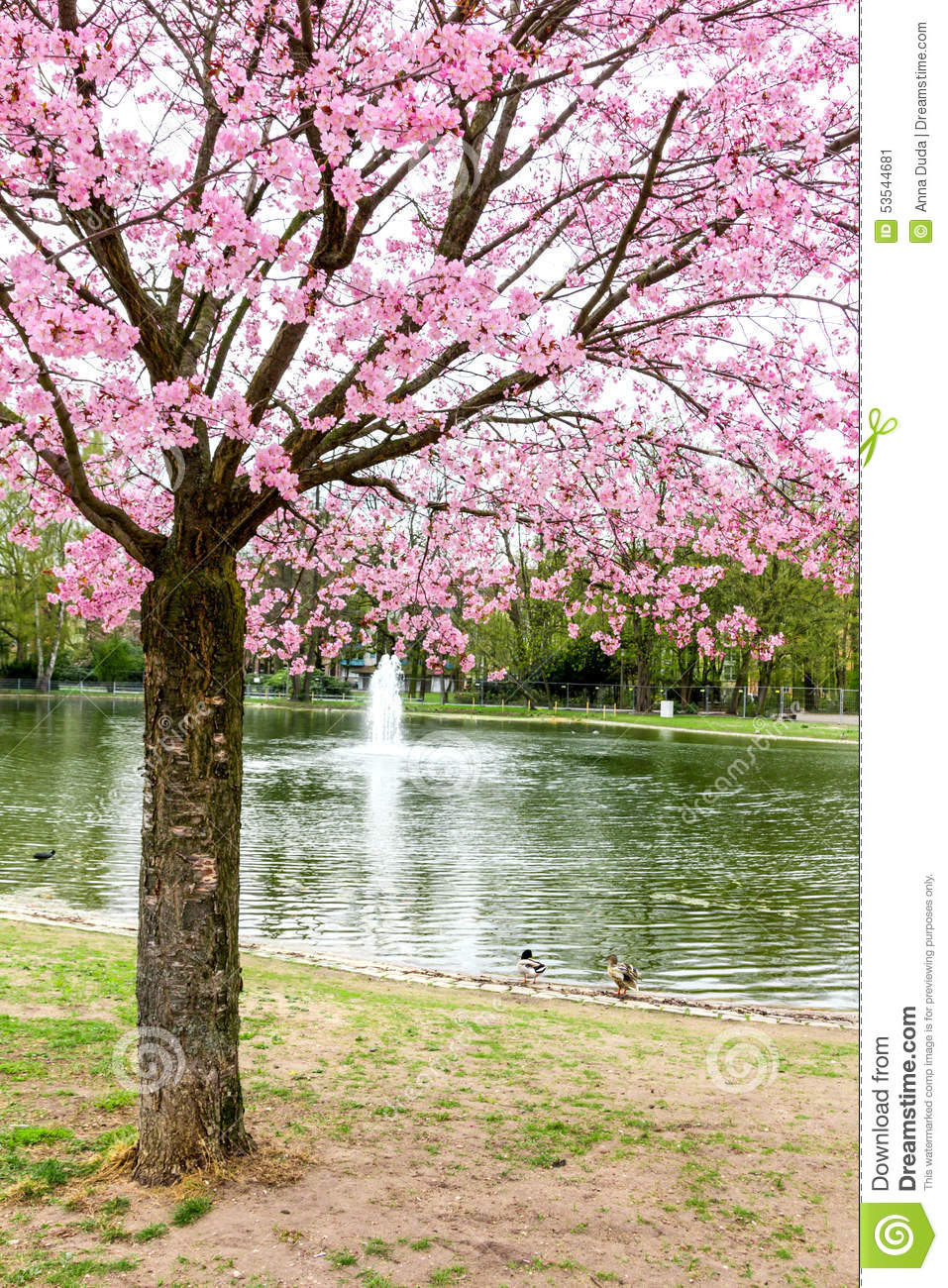 Japanese Cherry Tree With Pink Flowers Stock Image Image Of Garden