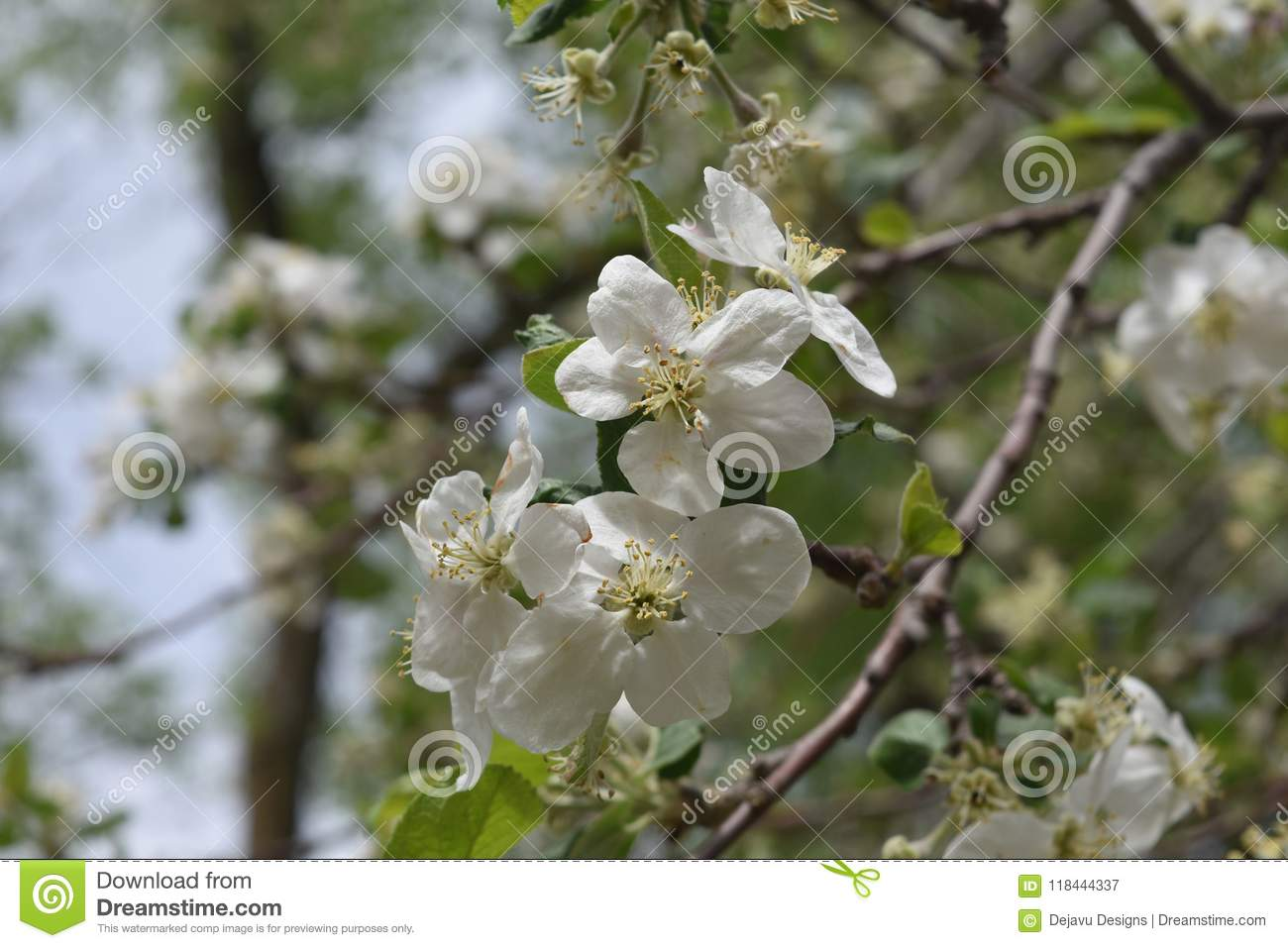 White Japanese Cherry Tree With Flower Blossoms Stock Image Image