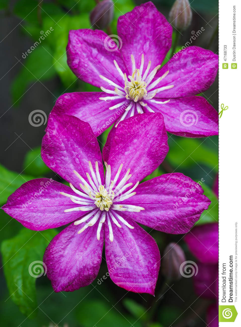 Japanese Clematis Flower Stock Image Image Of Flowers