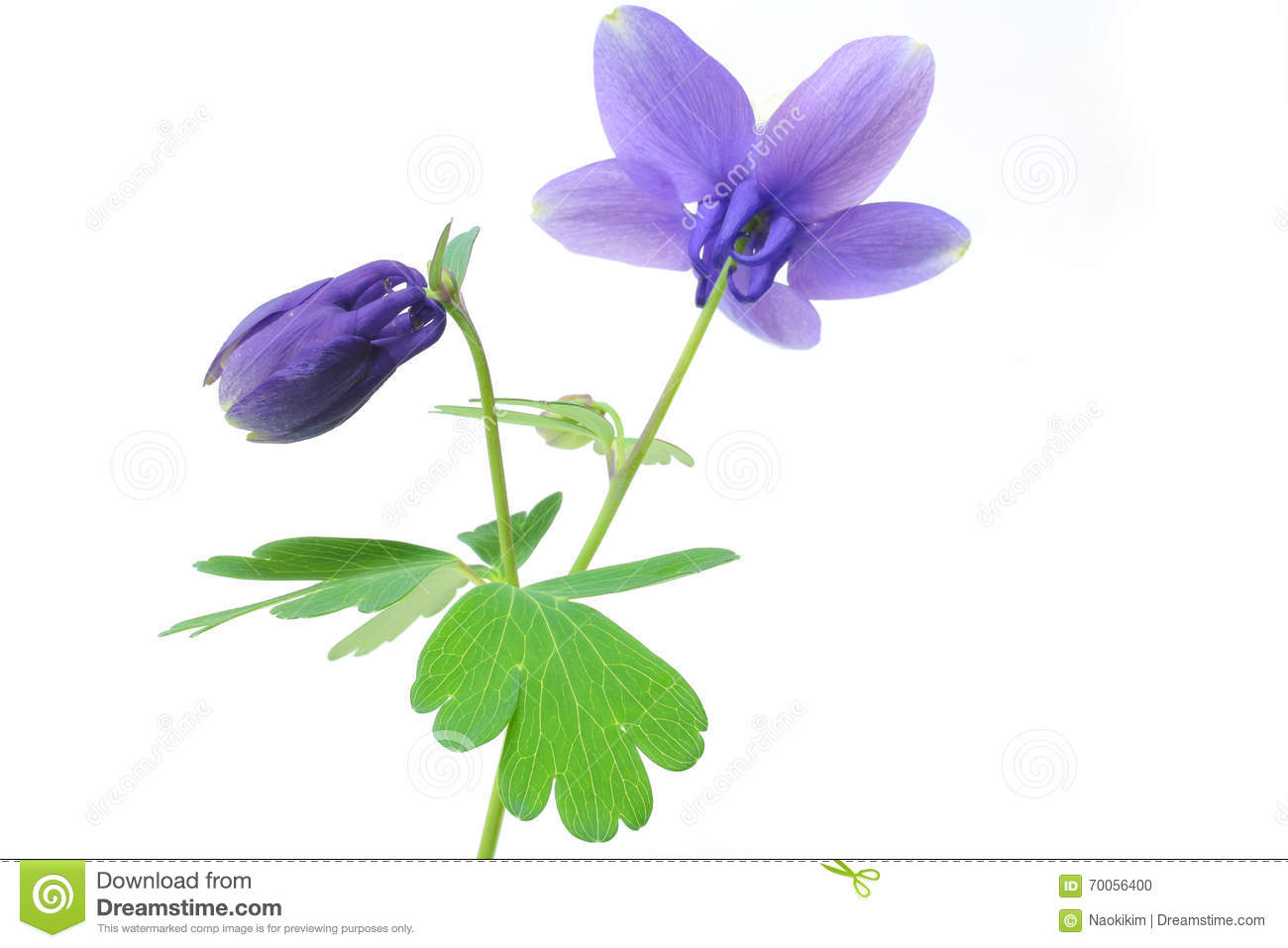 japanese columbine flower and bud in white  stock photo  image, Beautiful flower