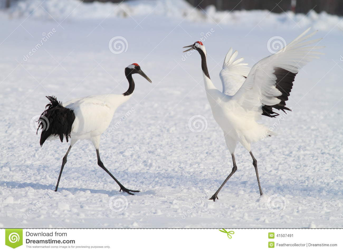 Japanese crane or Red-crowned Crane
