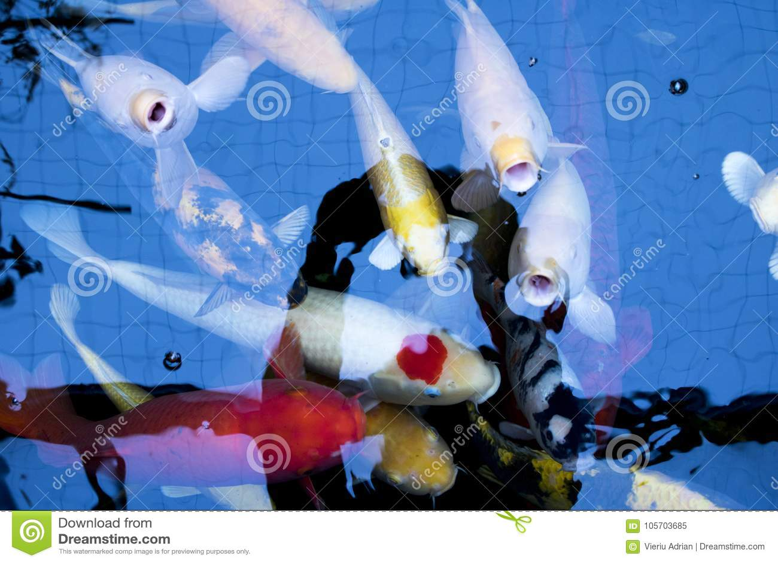 Japanese Craps Fish Aquarium Animals Nature Stock Image Image Of