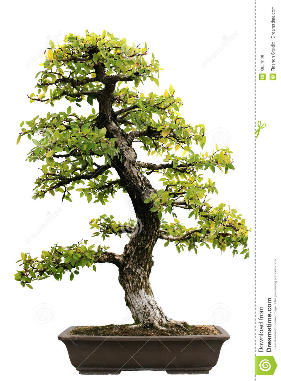 Japanese Evergreen Bonsai At Isolated Royalty Free Stock Photos ...