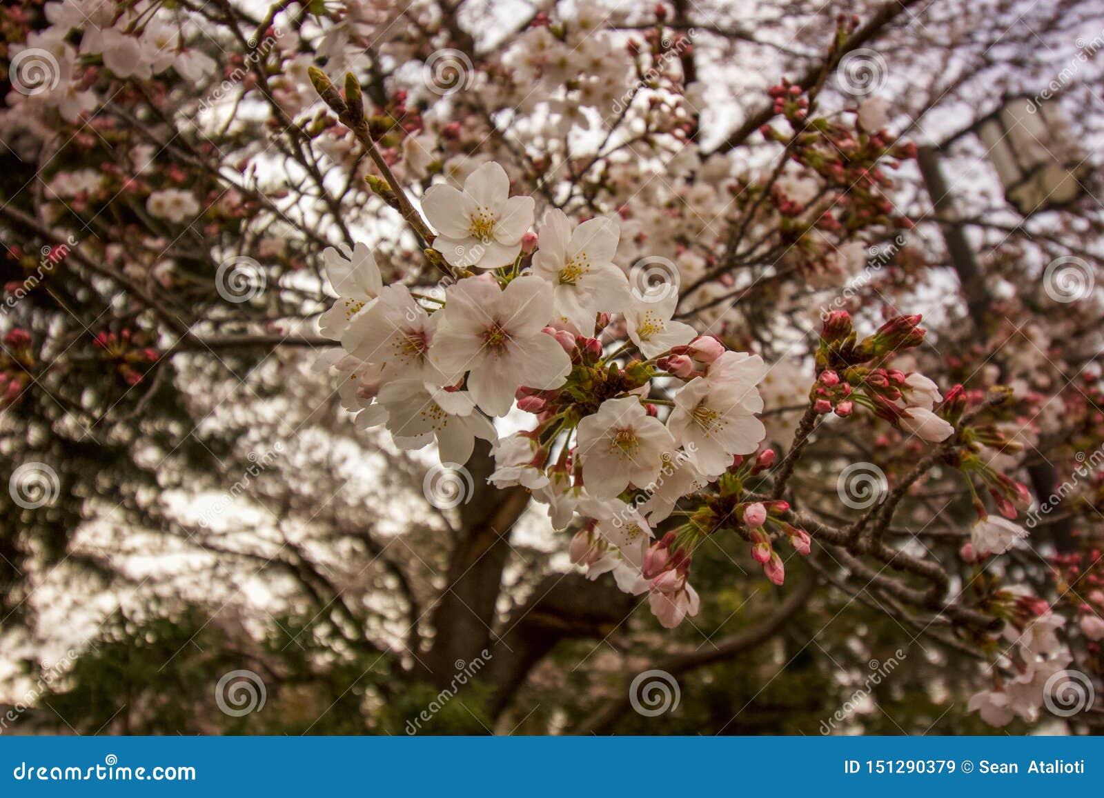 White Cherry Blossom On Japanese Tree Japanese White Cherry