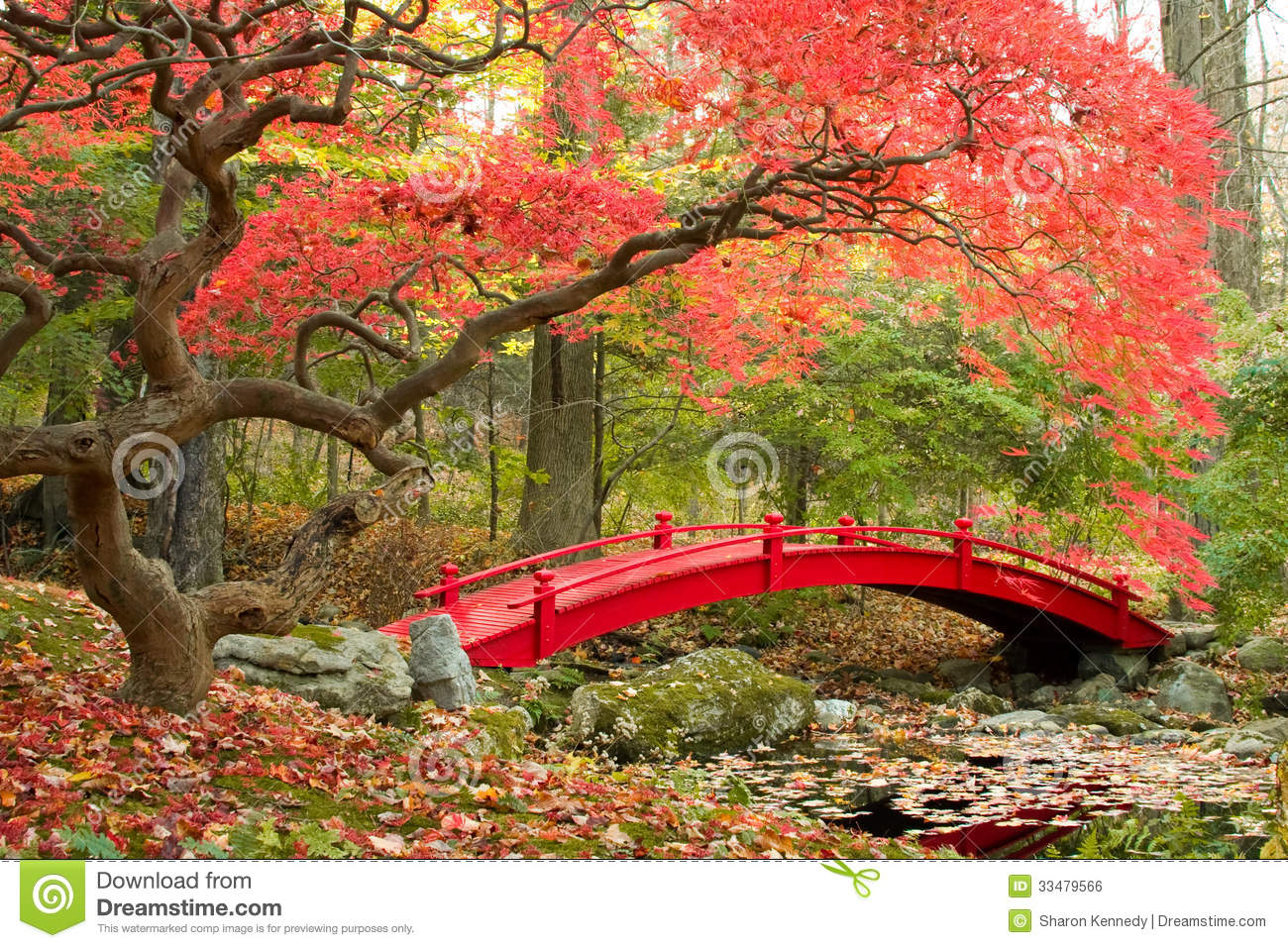 Japanese Garden And Red Bridge. Beautiful Japanese Maple Tree And Red Bridge  In Autumn Garden