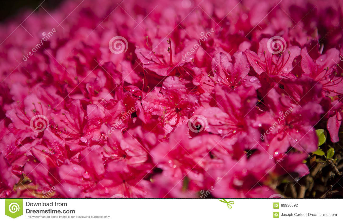 Japanese Hot Pink Flower Blossom In Garden Stock Photo Image Of