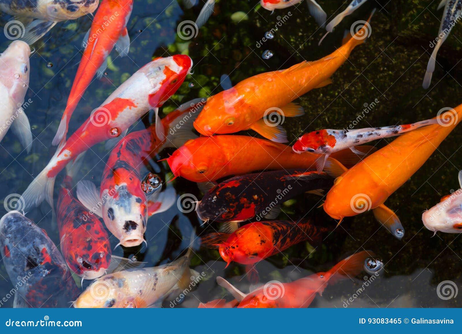 Japanese koi carp stock image. Image of japan, multicolor - 93083465
