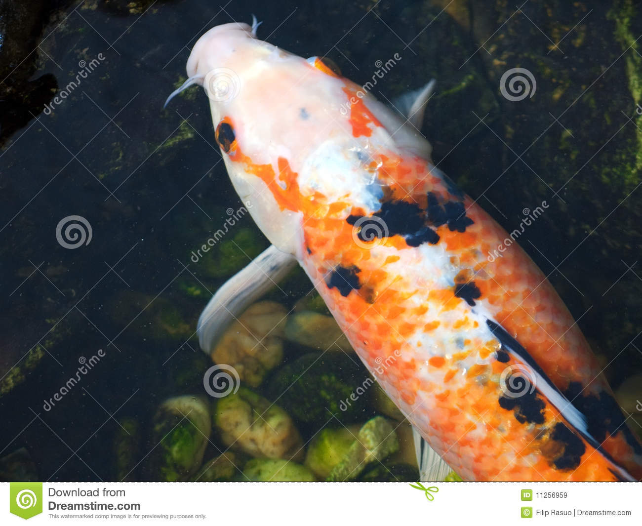 Japanese koi carp fish stock image image of for Carpe koi aquarium 300 litres