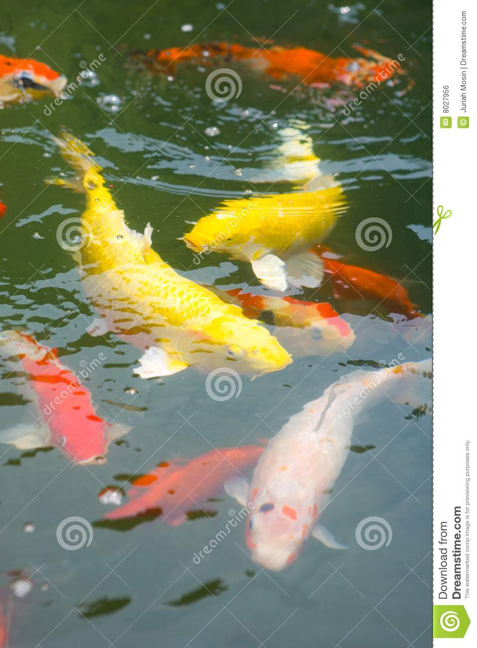 Japanese koi carp in a pond royalty free stock image for Koi carp fish pond