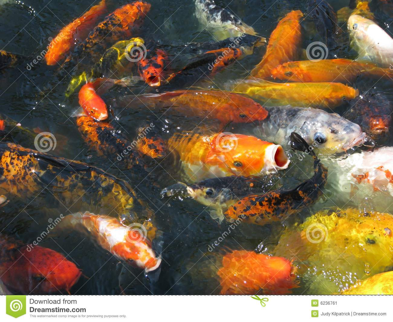 Japanese koi in feeding frenzy stock image image 6236761 for Koi feeding