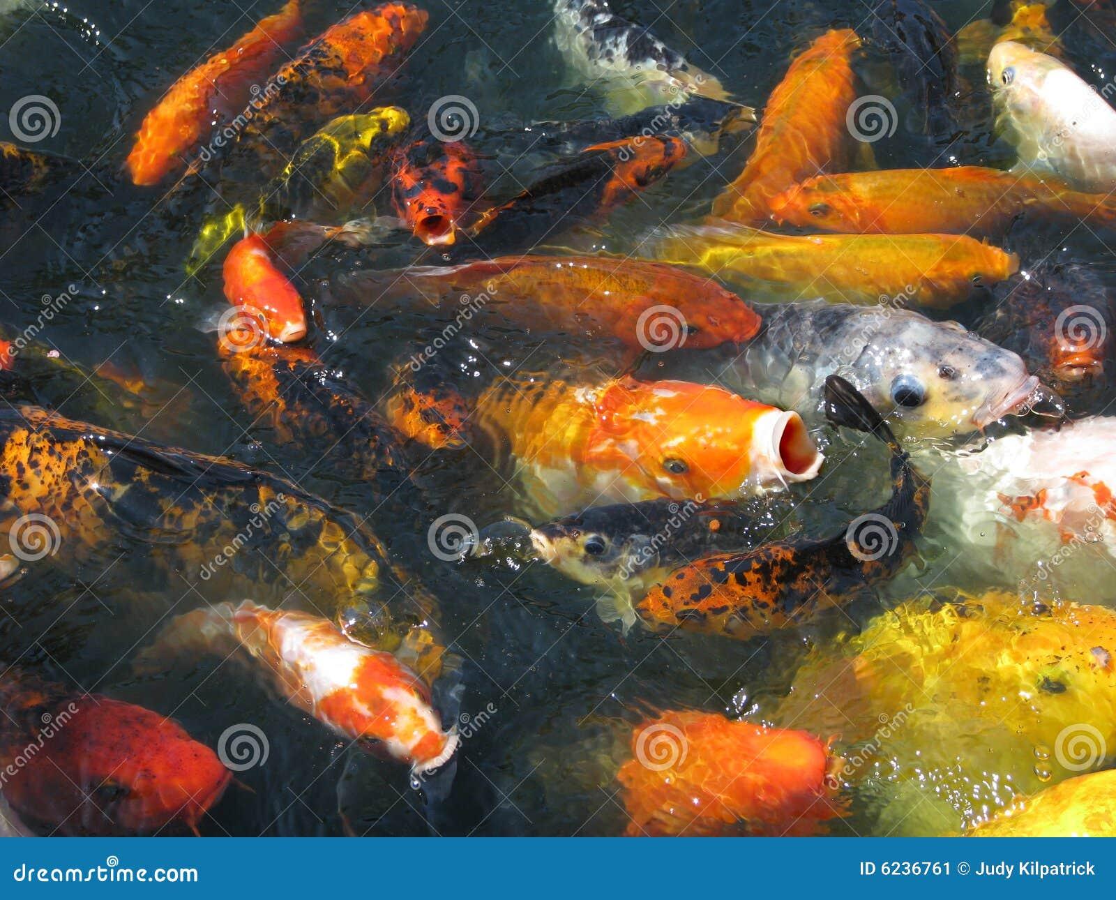 Japanese koi in feeding frenzy stock image image 6236761 for Feeding koi fish