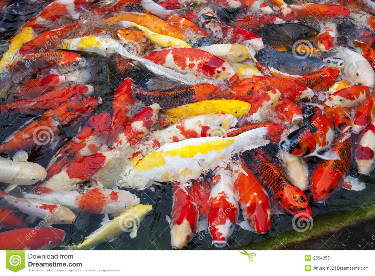 Japanese koi fish stock image image of nature feed for Japanese koi carp fish