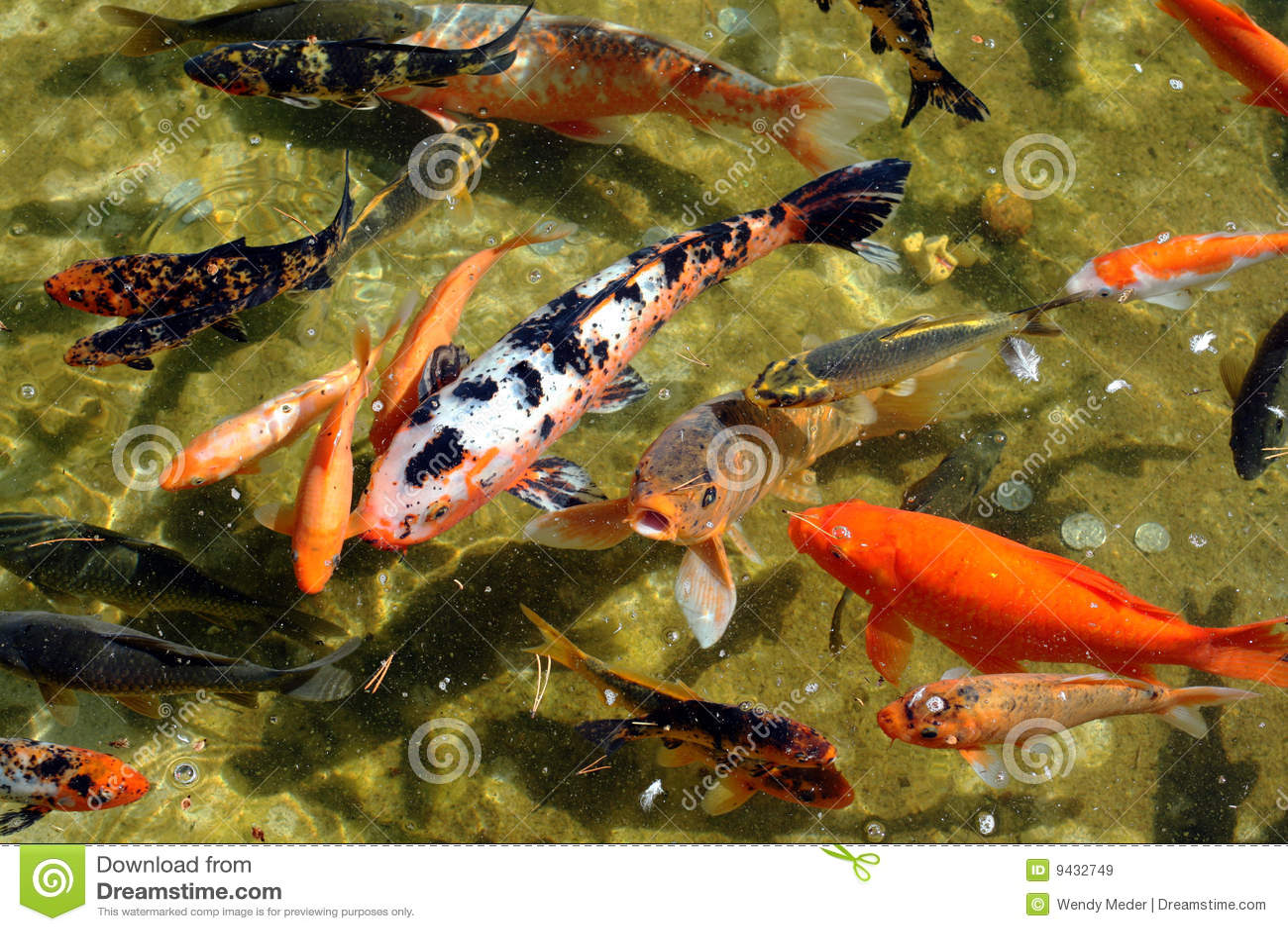 Japanese koi fish royalty free stock images image 9432749 for Japanese pond fish