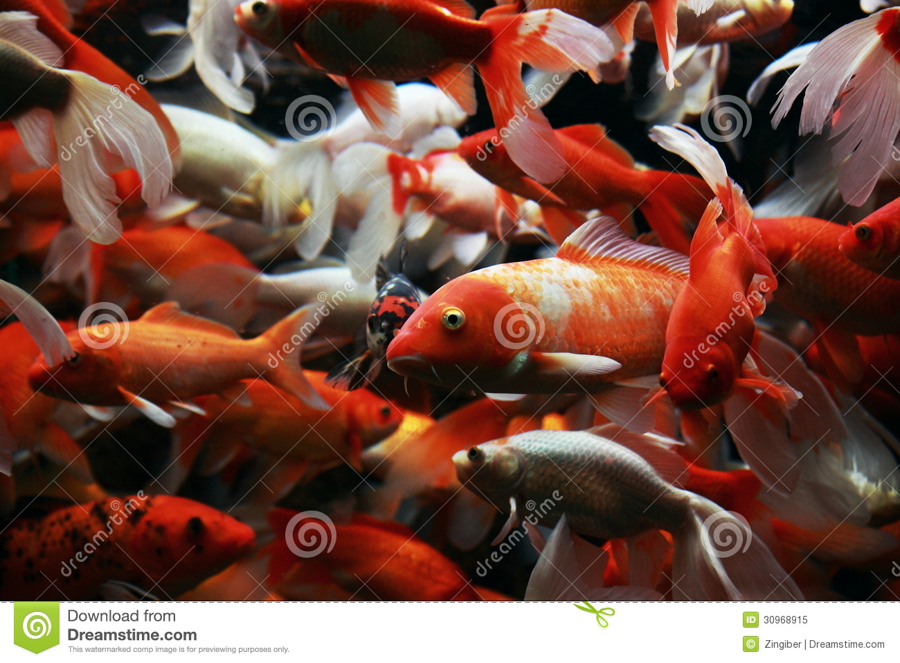 Japanese koi royalty free stock photo image 30968915 for Koi fish aquarium