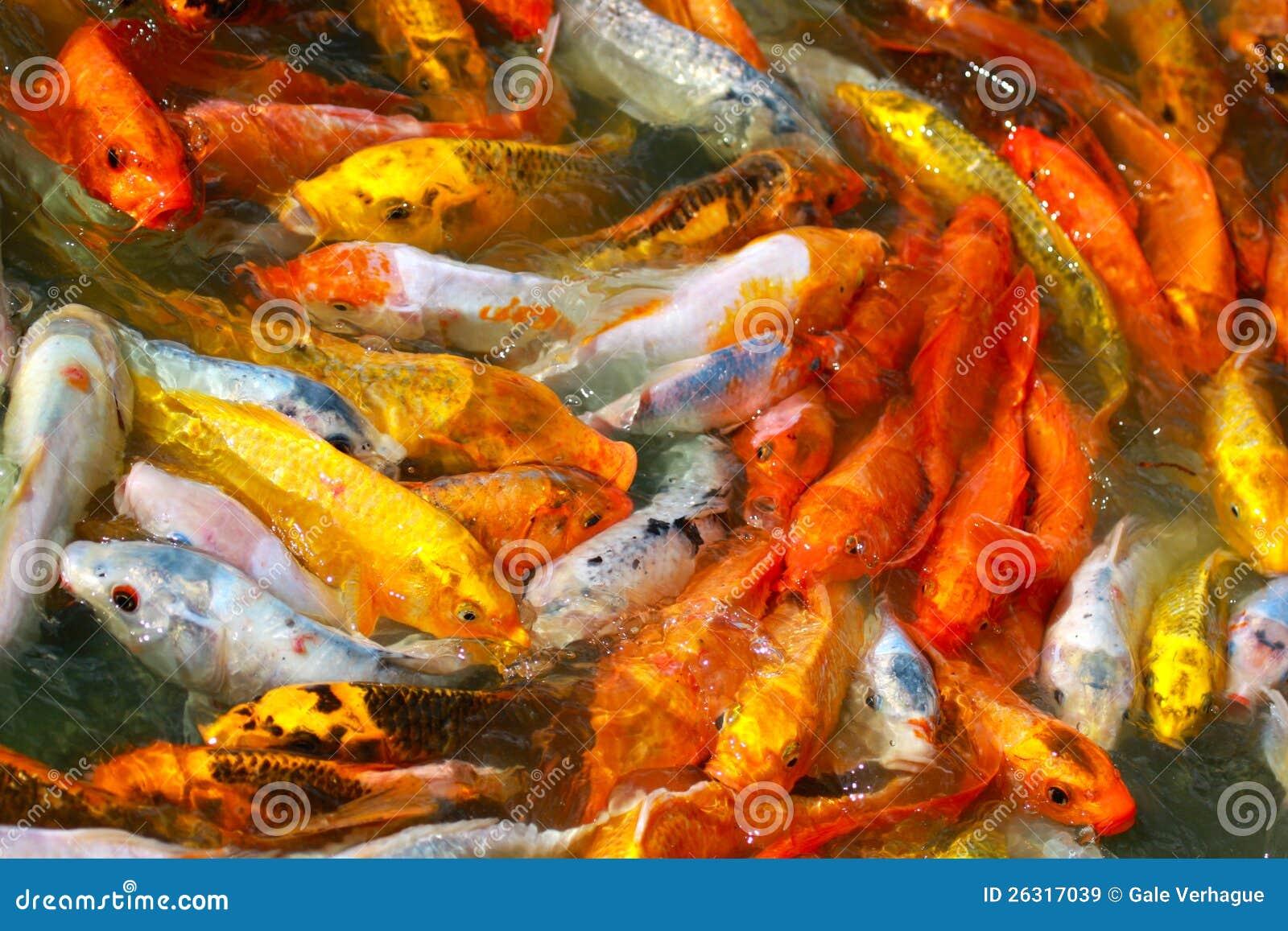Japanese koi fish feeding frenzy royalty free stock images for Feeding koi carp