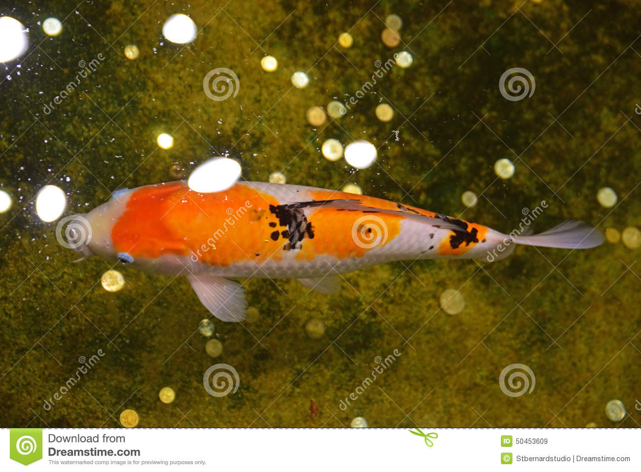 Japanese koi fish in an indoor water pond stock photo for Japanese koi carp fish