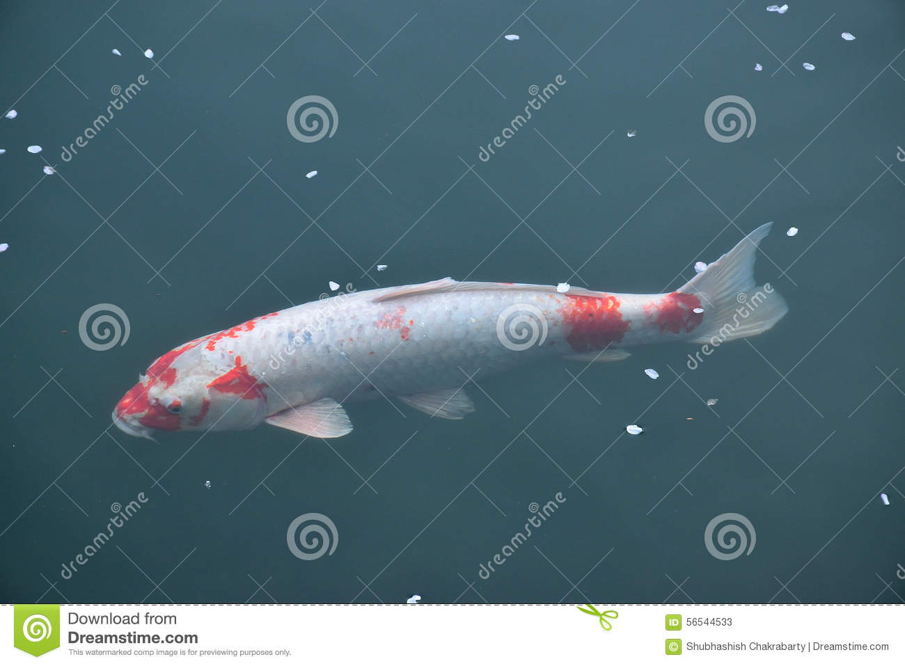 Japanese koi fish swimming in temple pond stock image for Pool koi aquatics ltd