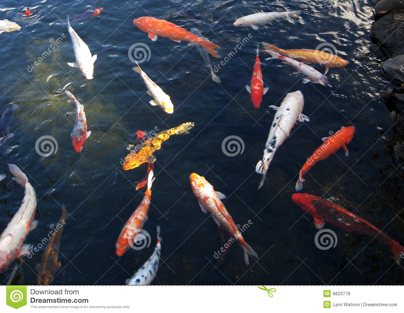 Japanese koi in pond royalty free stock photos image for Koi pond supply of japan