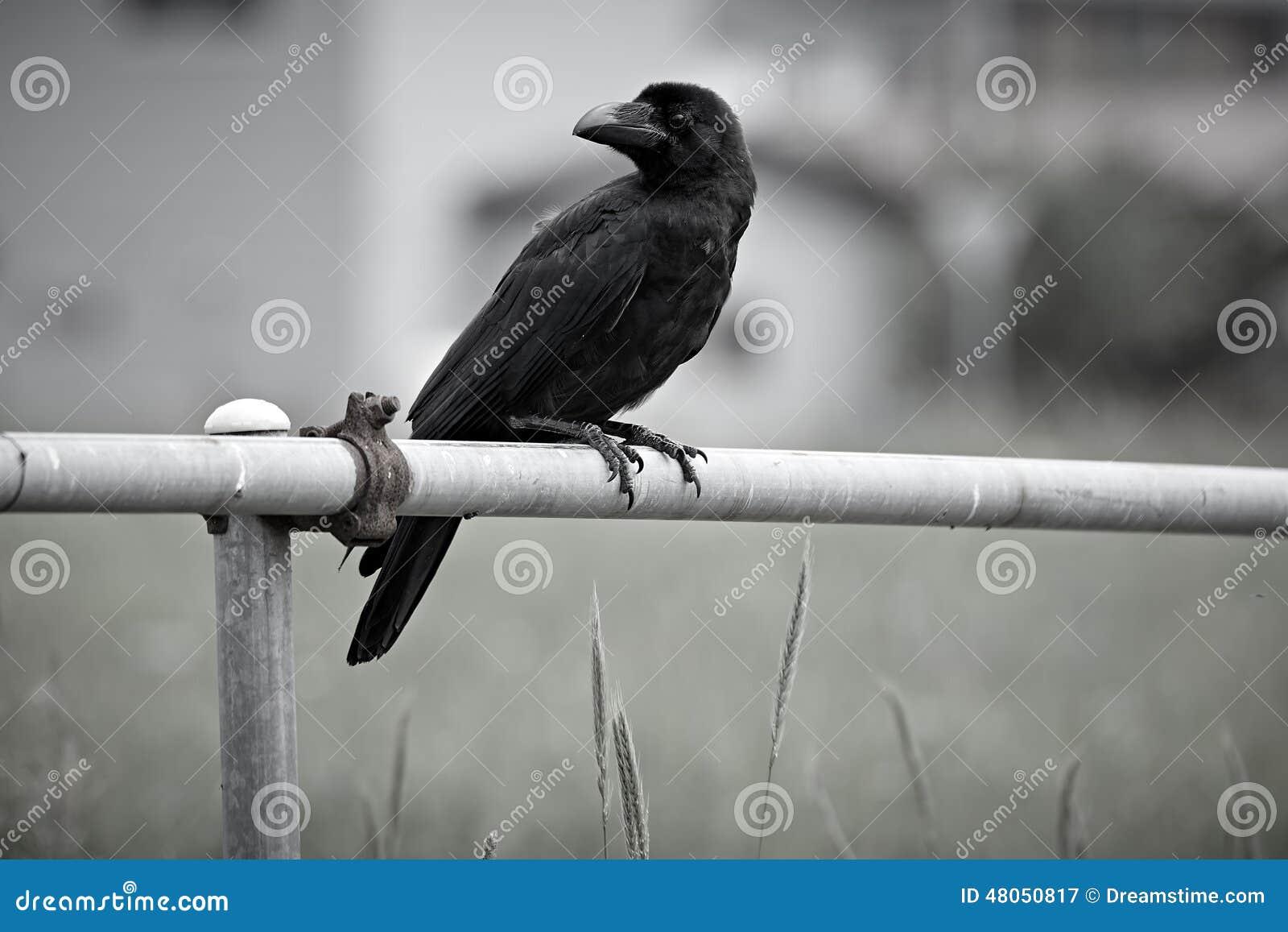 Japanese Large Billed Crow