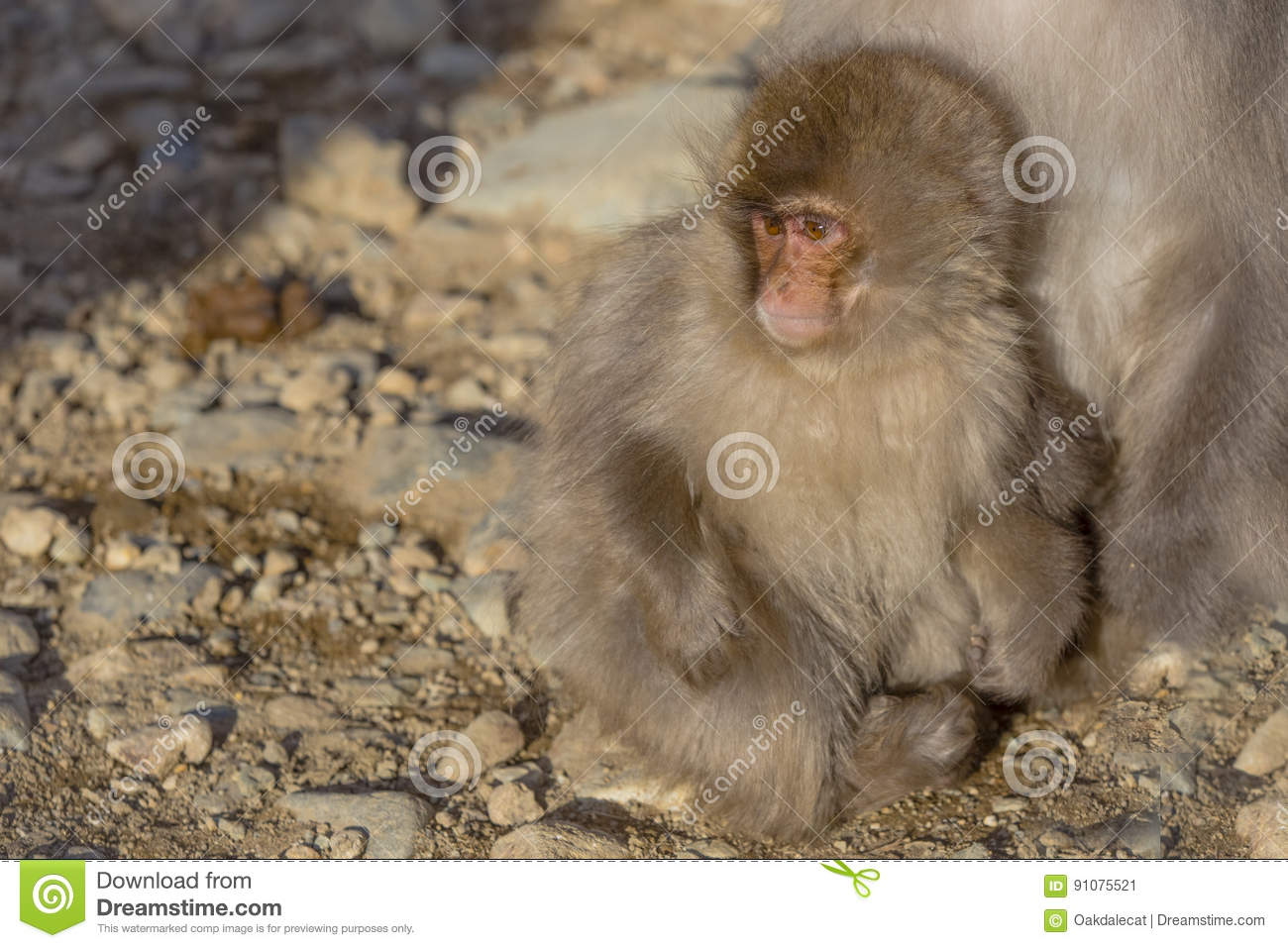 Japanese Macaque Baby Cuddling at Mother`s Feet