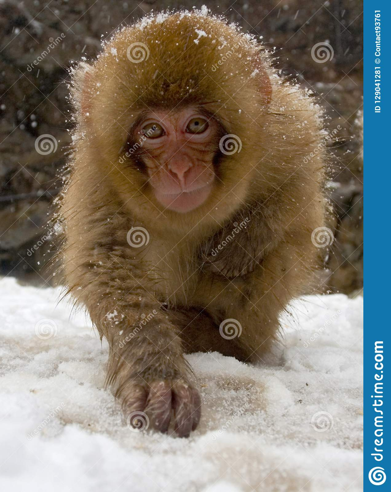 Japanese Macaque, Japanse Makaak, Macaca fuscata