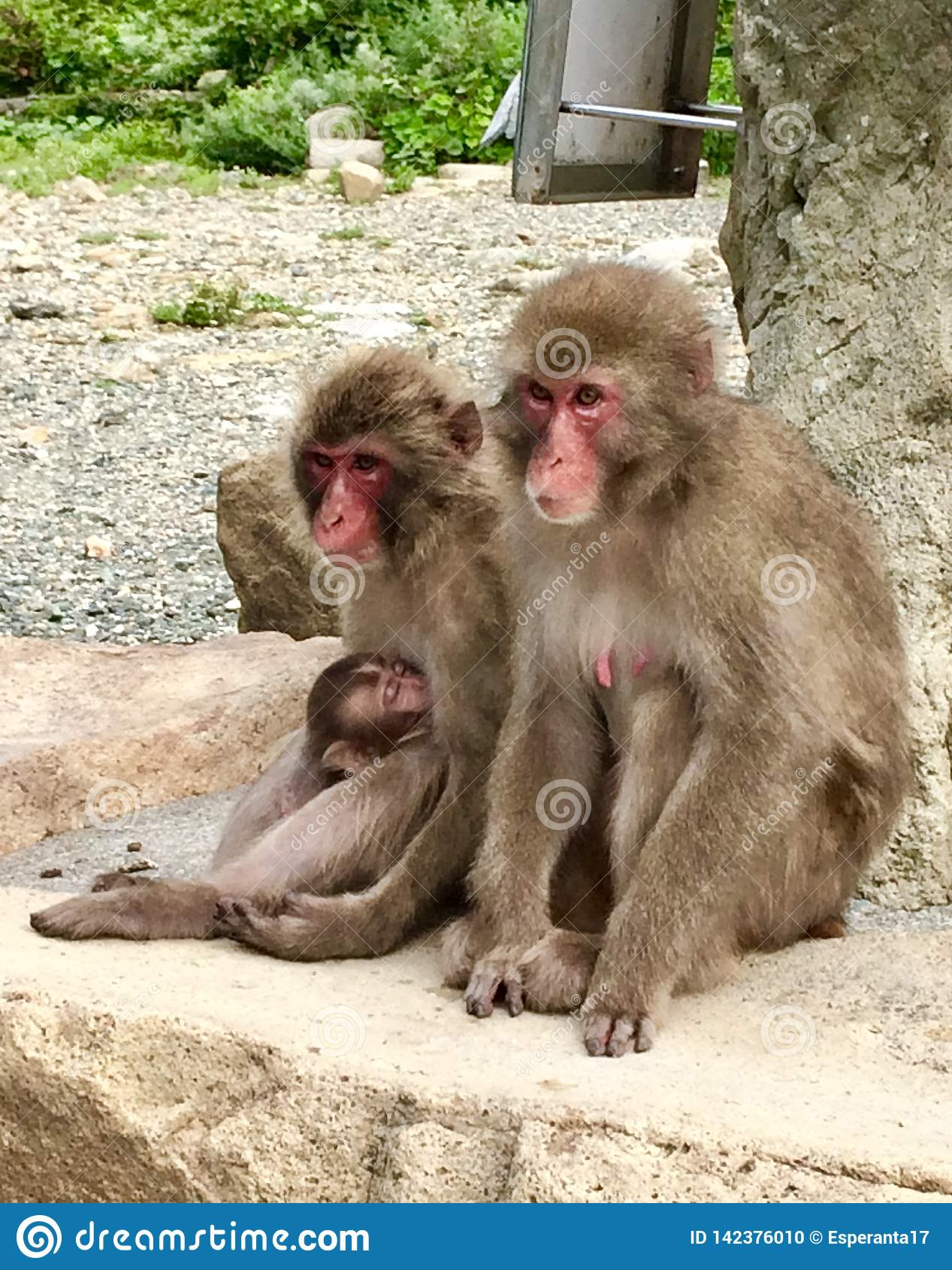 Japanese Macaque Family in Izu Peninsula