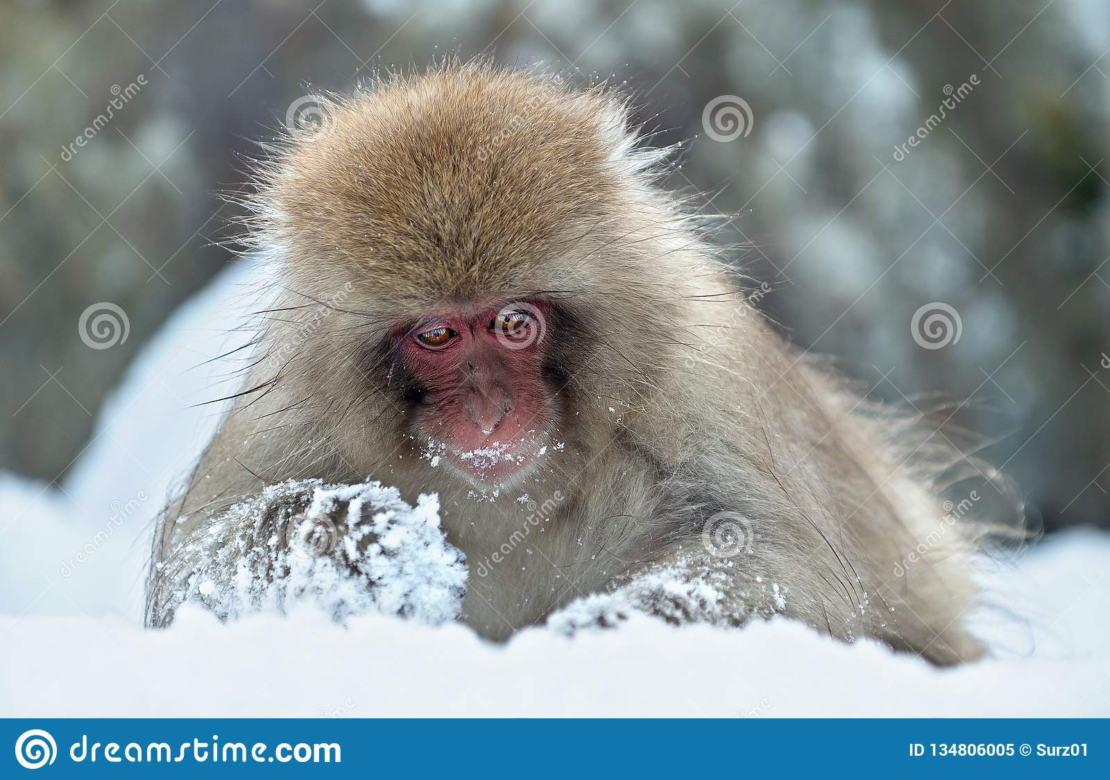 The Japanese macaque. Scientific name: Macaca fuscata Close up portrait