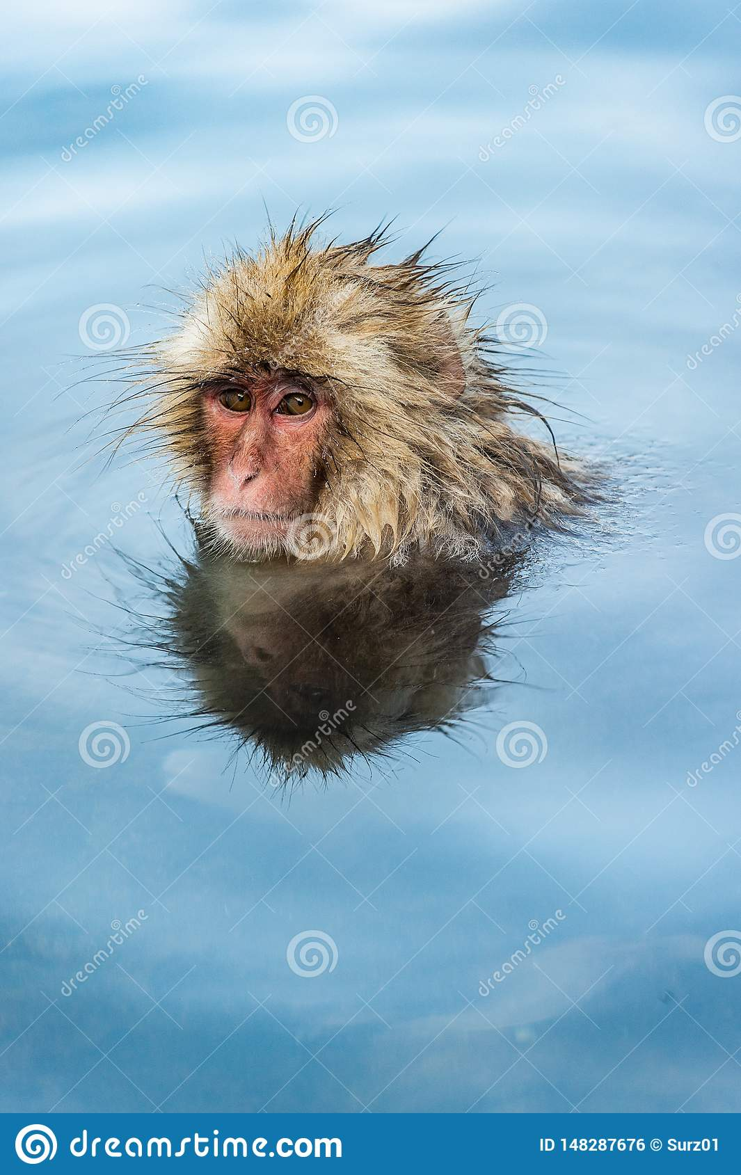 Japanese macaque in water of natural hot springs.