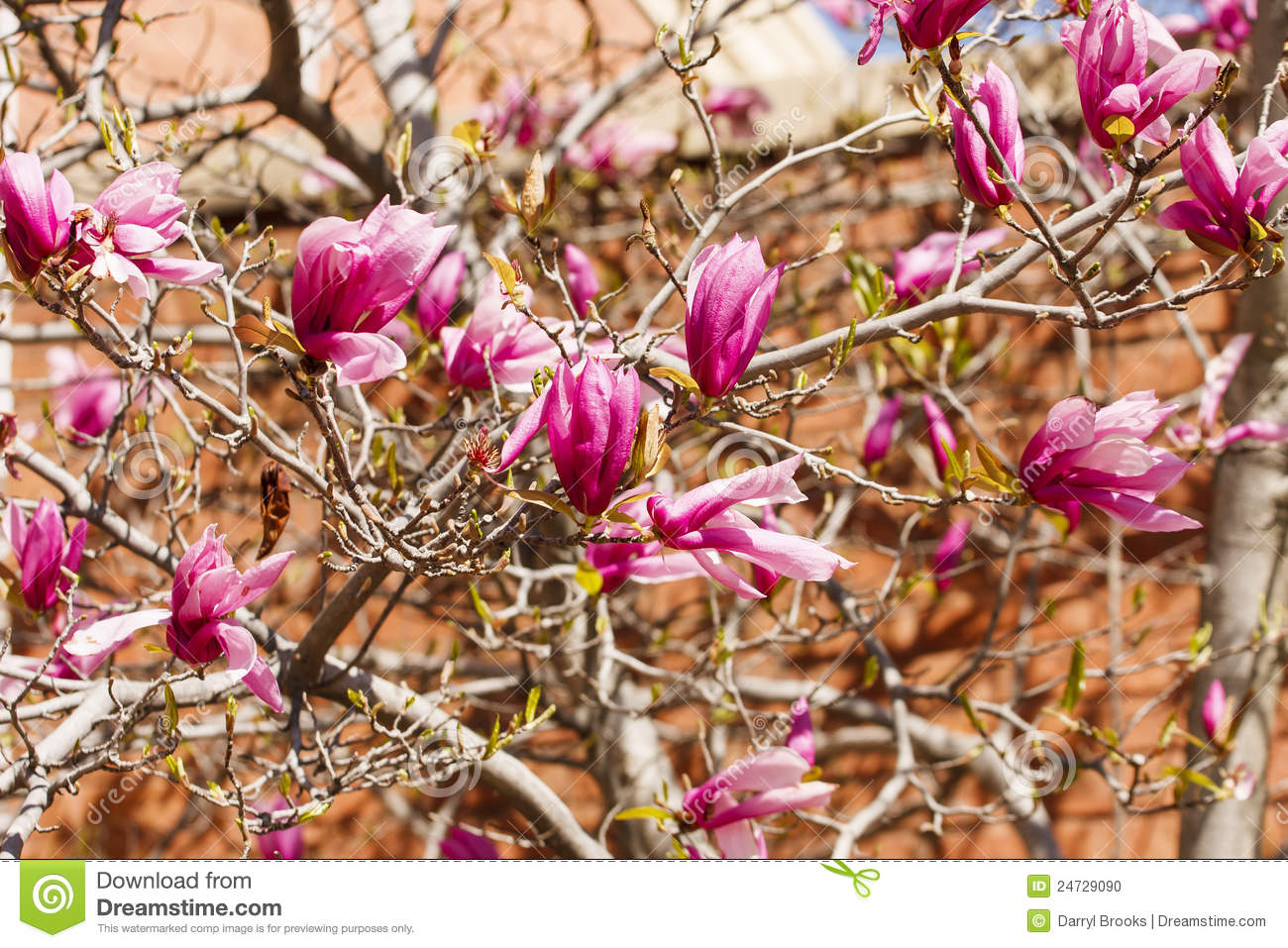 Japanese Magnolia Early Blooms Stock Photo Image Of Beauty