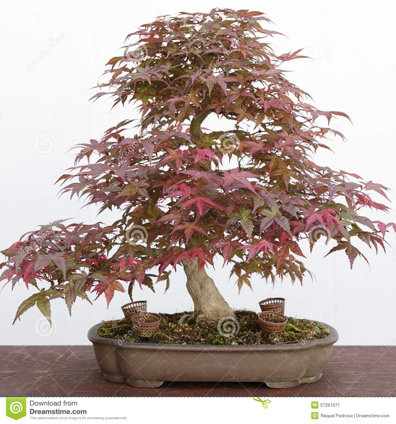 Japanese Maple Acer Palmatum Bonsai Stock Image Image Of Bonsai