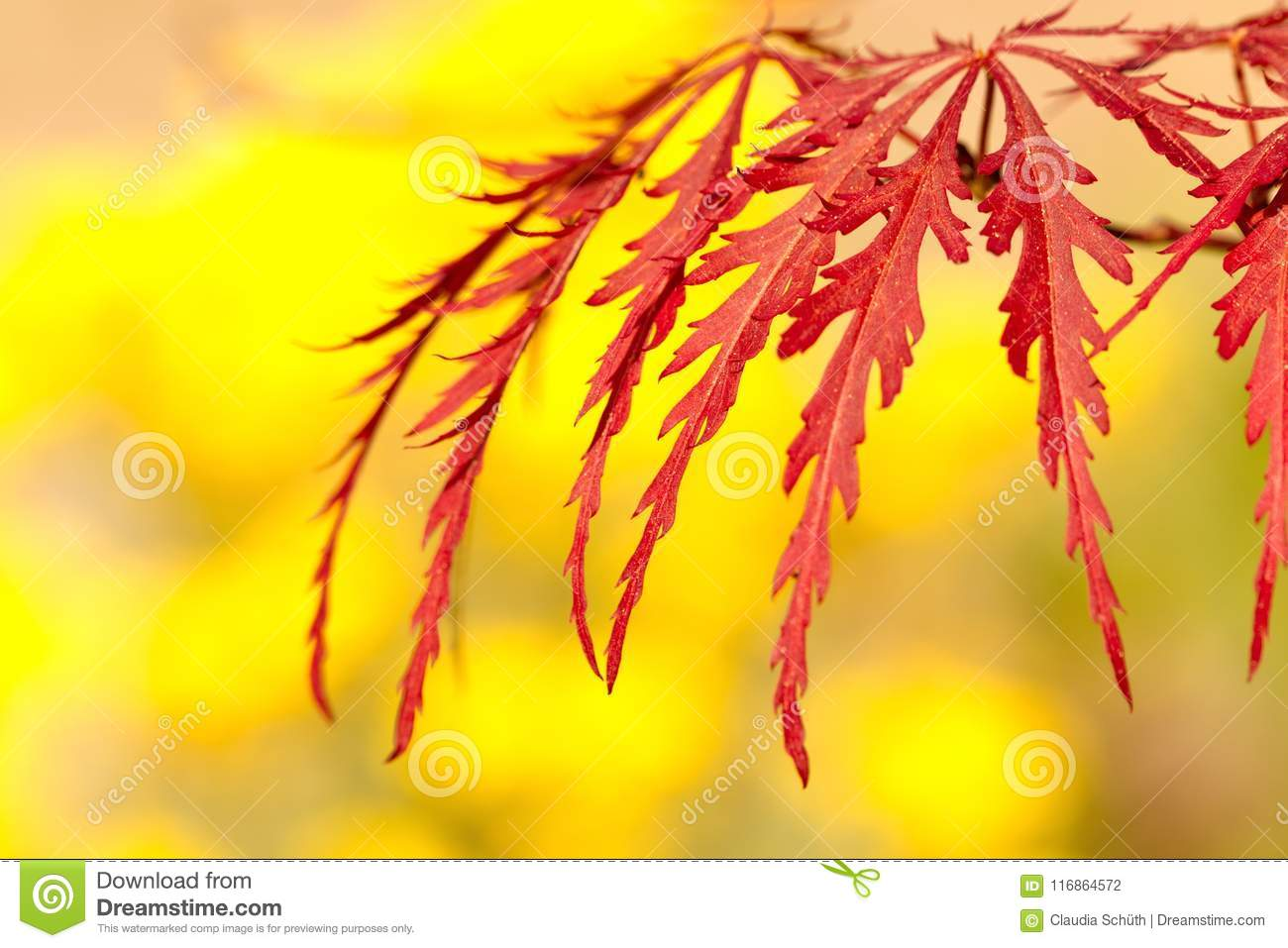 Japanese maple Acer palmatum with a yellow background