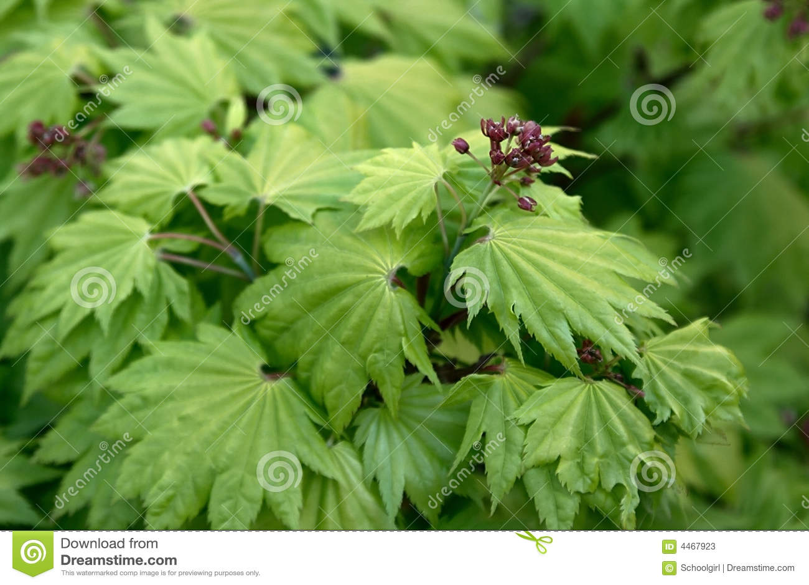 Japanese Maple Acer Shirasawanum Aureum Stock Image Image Of