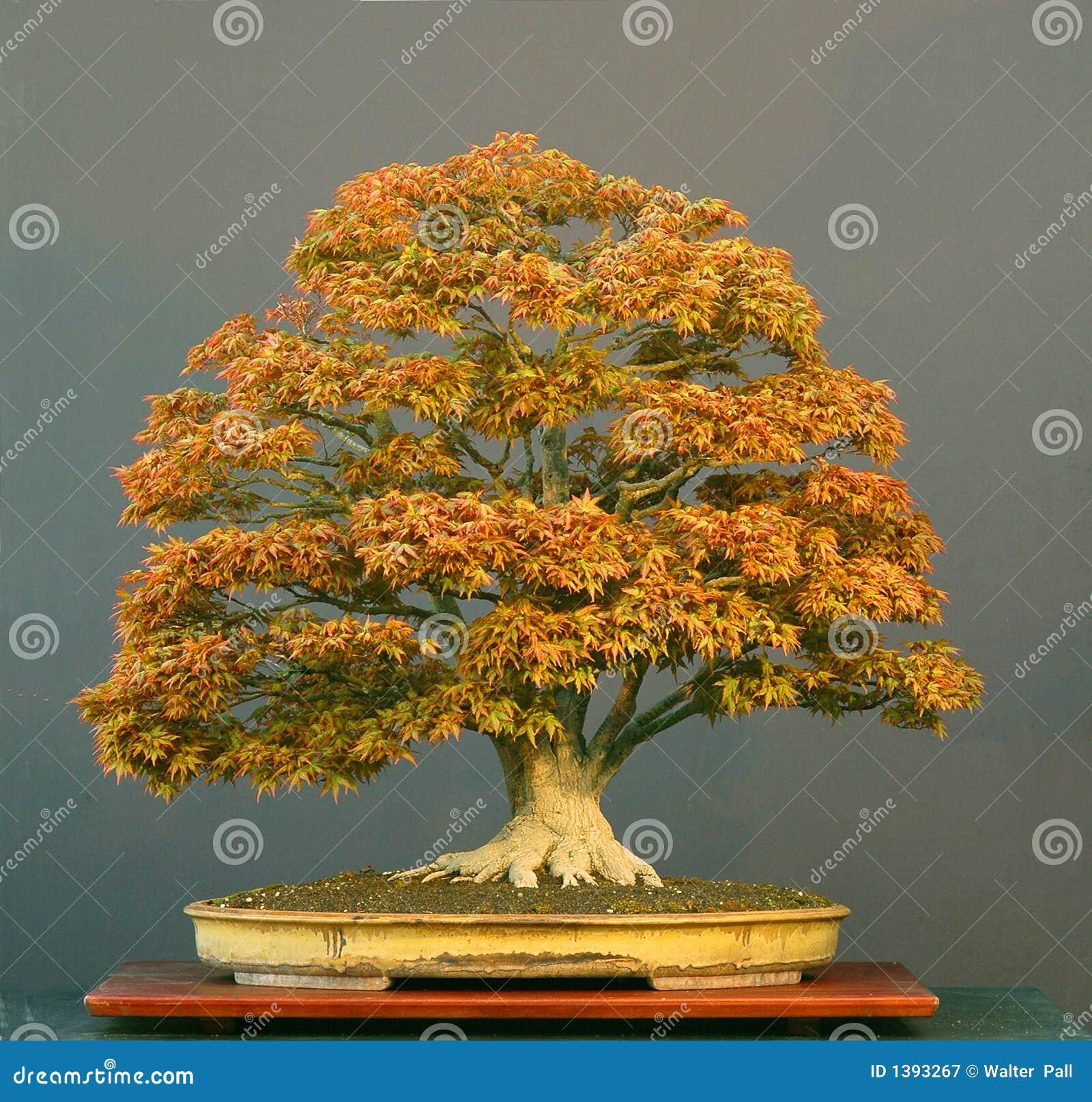 Japanese Maple Bonsai Stock Image Image Of Japanese Palmatum 1393267