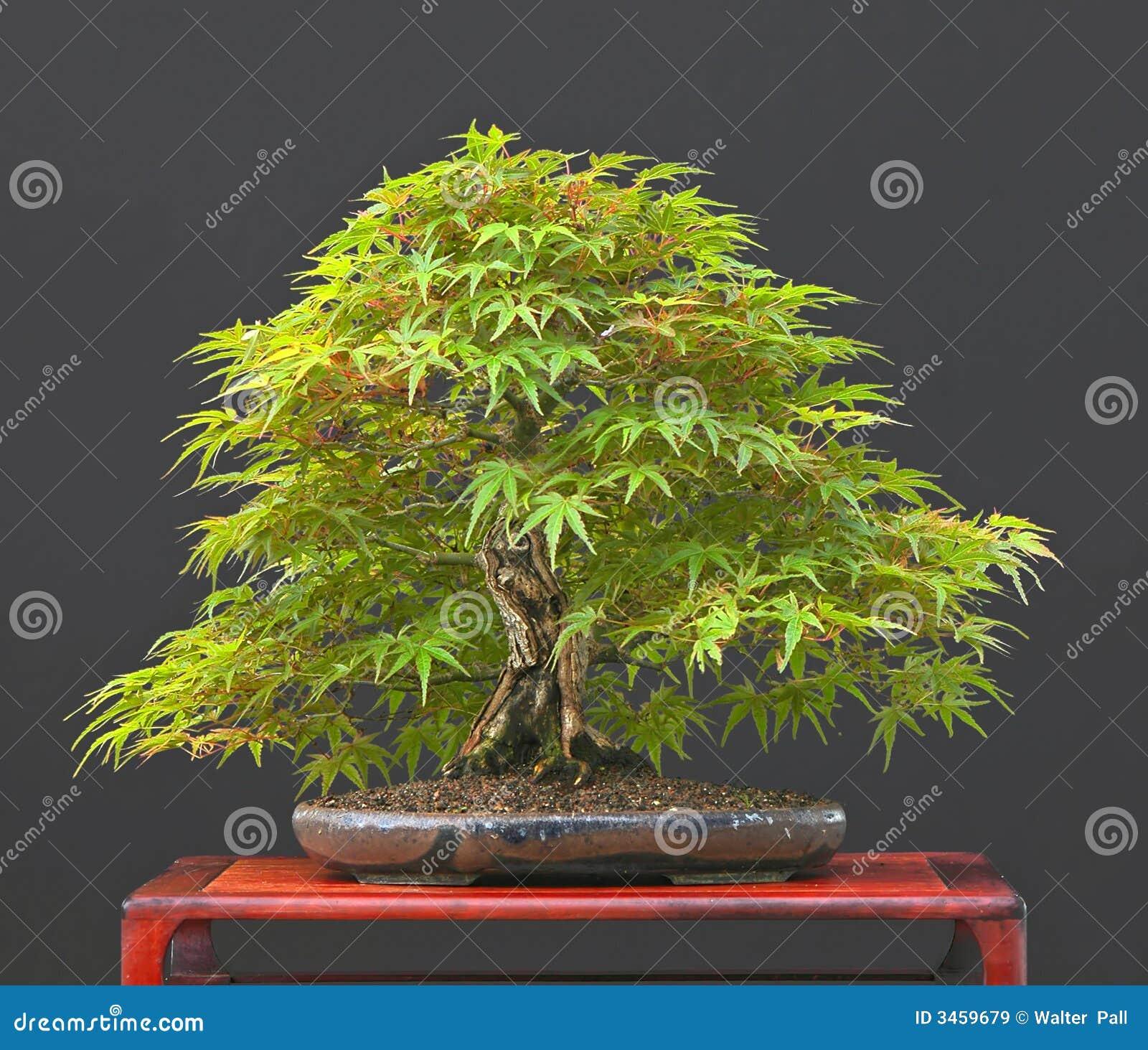 Japanese maple bonsai in summe