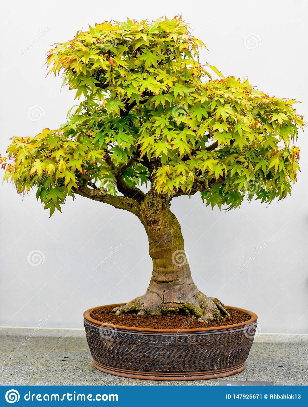 Japanese Maple Bonsai Tree In Planter Stock Image Image Of Bonsai Planter 147925671