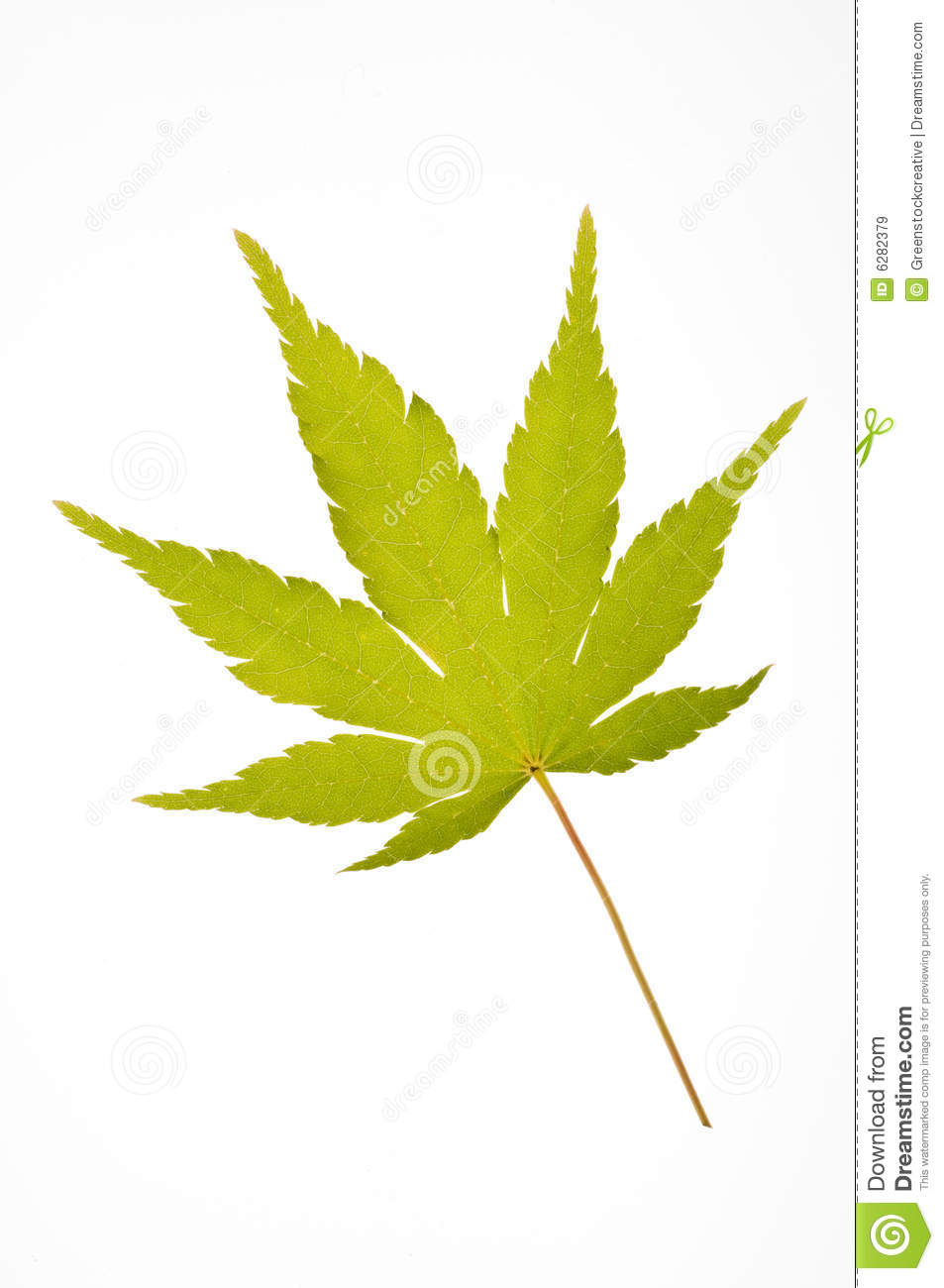 Japanese Maple Leaf Royalty Free Stock Images Image 6282379