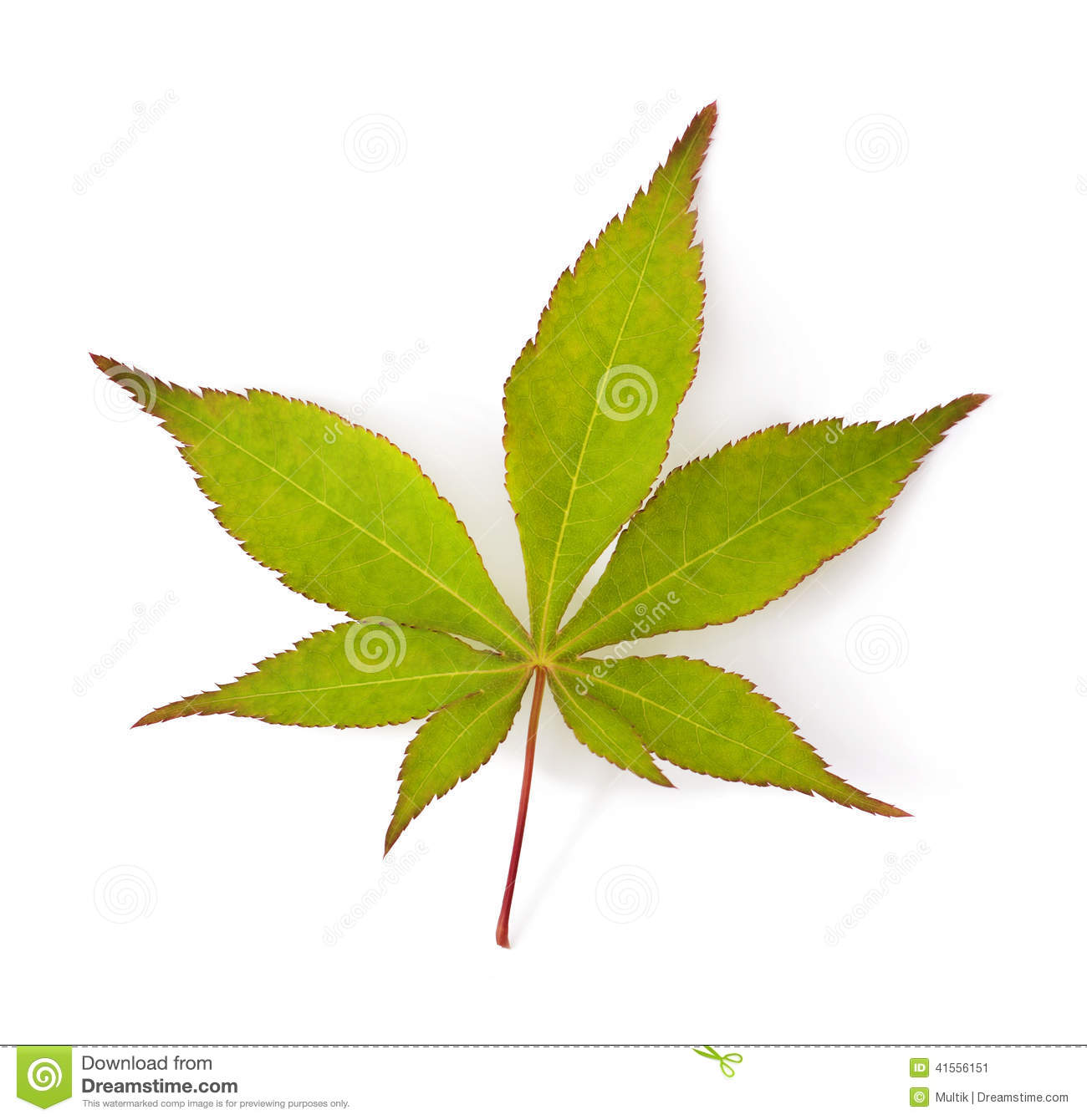 Japanese maple leaf stock photo image 41556151 Japanese maple leaf