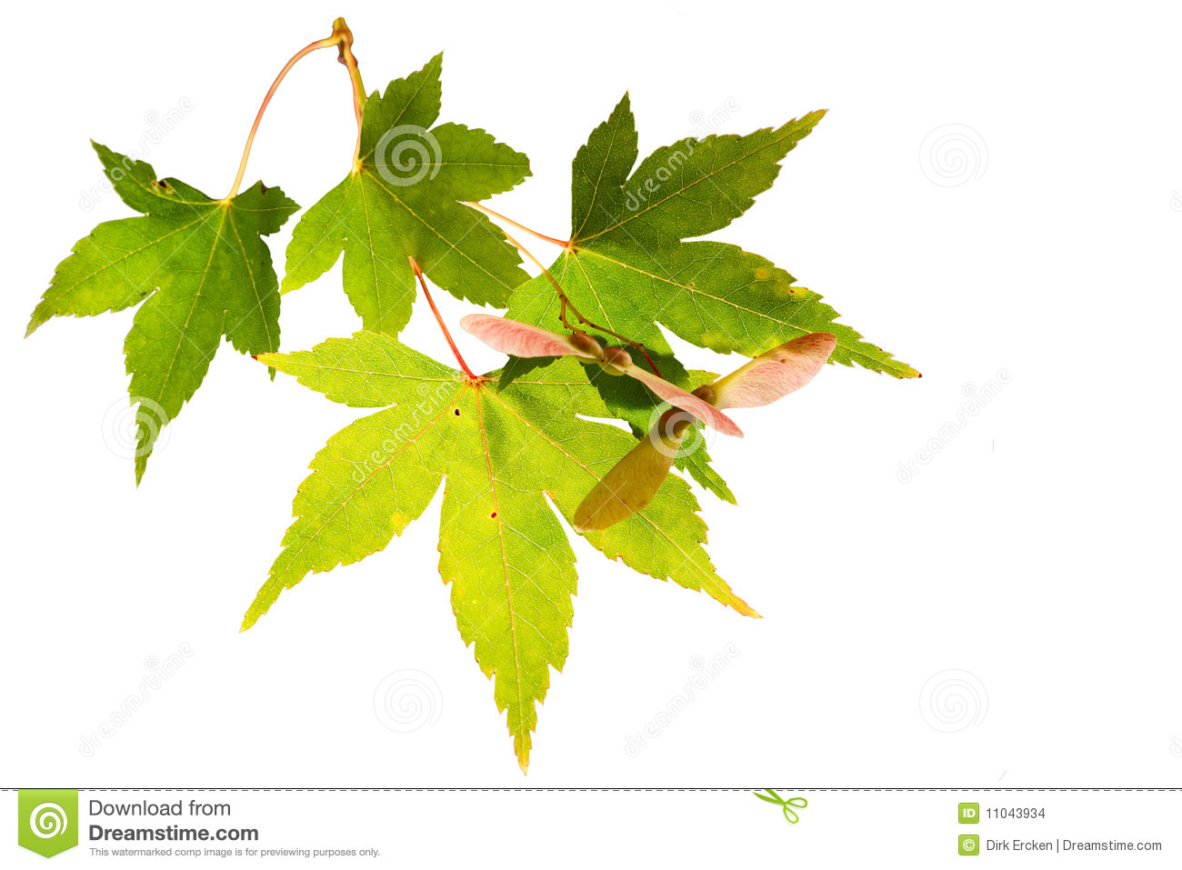 Japanese maple leaves autumn colors isolated stock images Japanese maple leaf