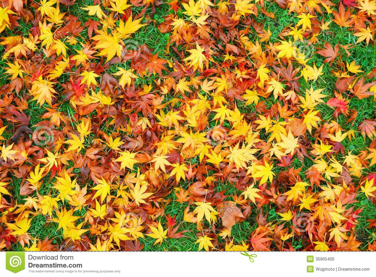 Japanese Maple Leaves On The Ground Stock Photo - Image of ...