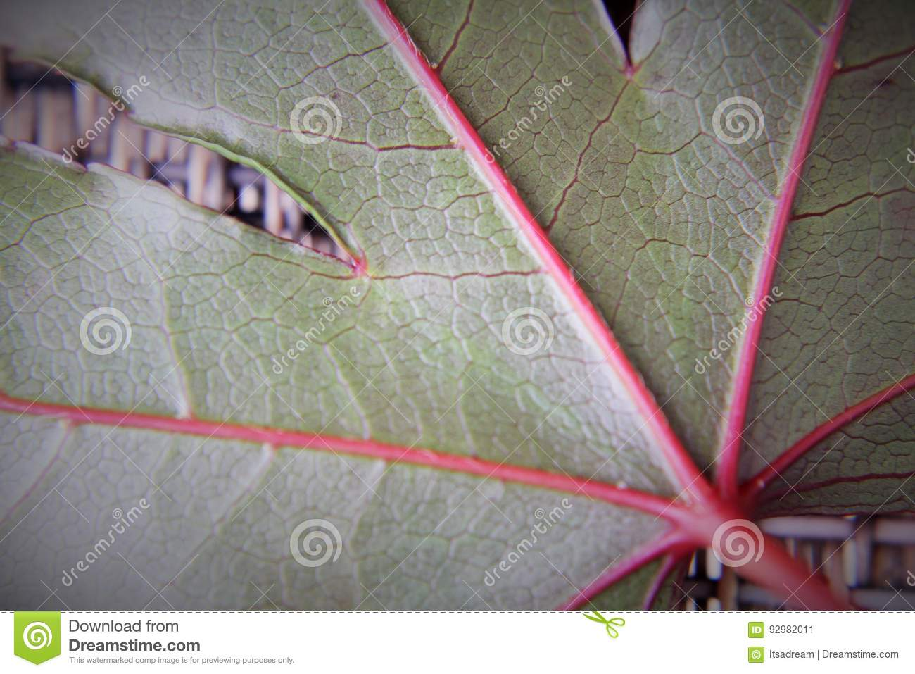 Japanese Maple Moonfire Leaf Close Up Stock Image Image Of Also