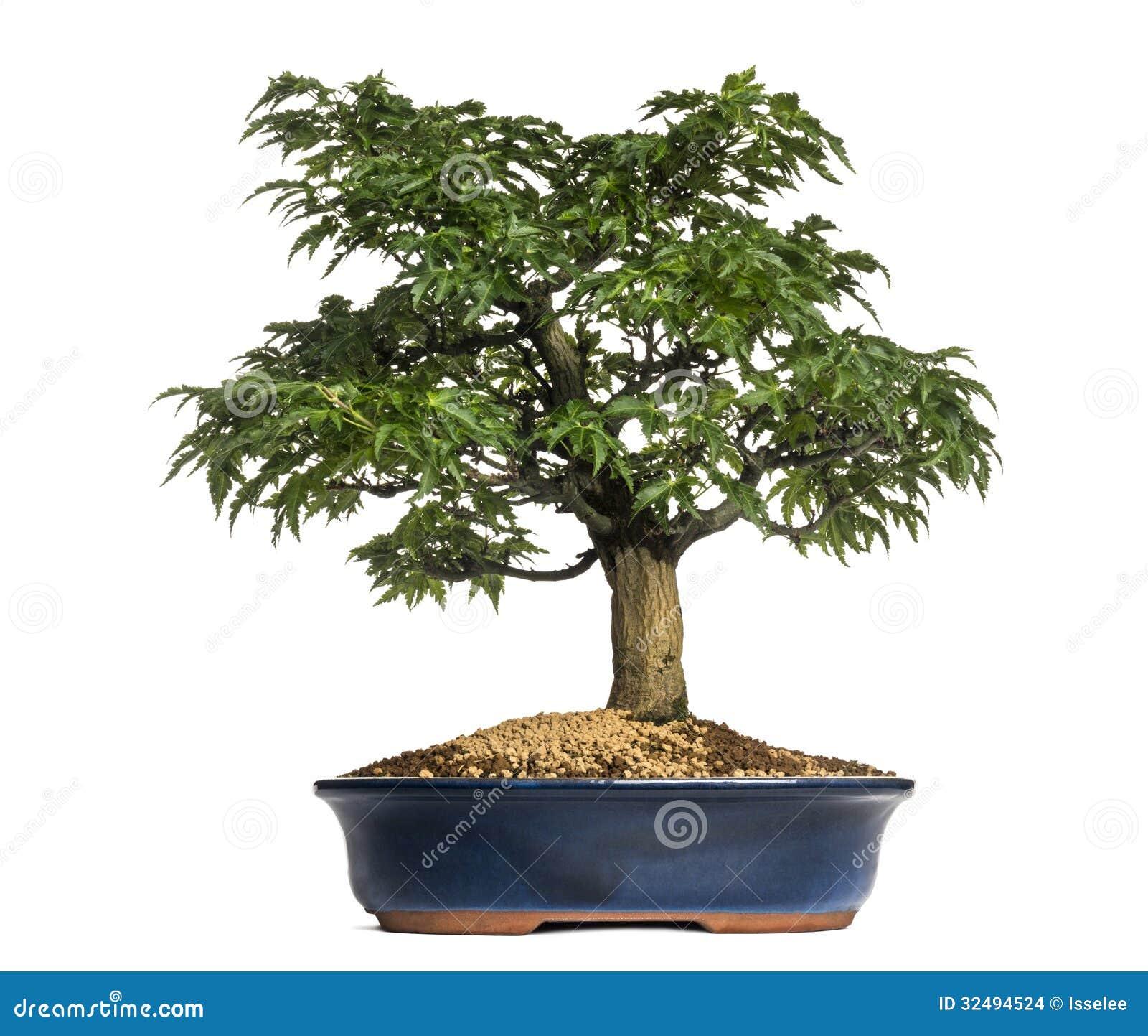 Japanese Maple Or Shishigashira Bonsai Tree Acer Palmatum Stock