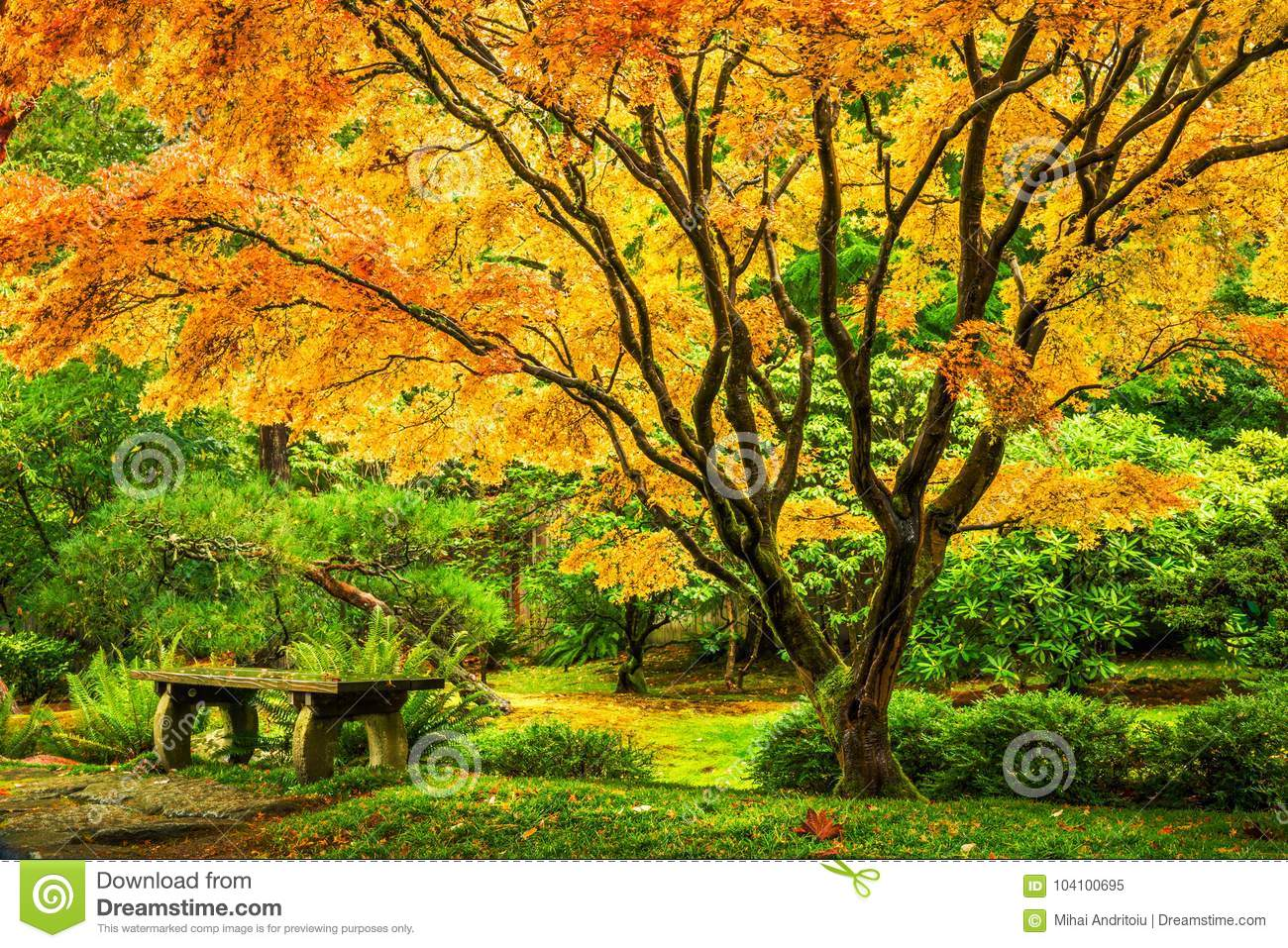 Japanese Maple Tree With Golden Fall Foliage Stock Image - Image of ...