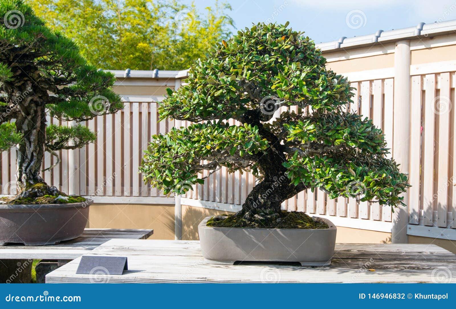 Japanese Oleaster Bonsai Tree In Omiya Bonsai Village Stock Photo Image Of Leaf Gardening 146946832