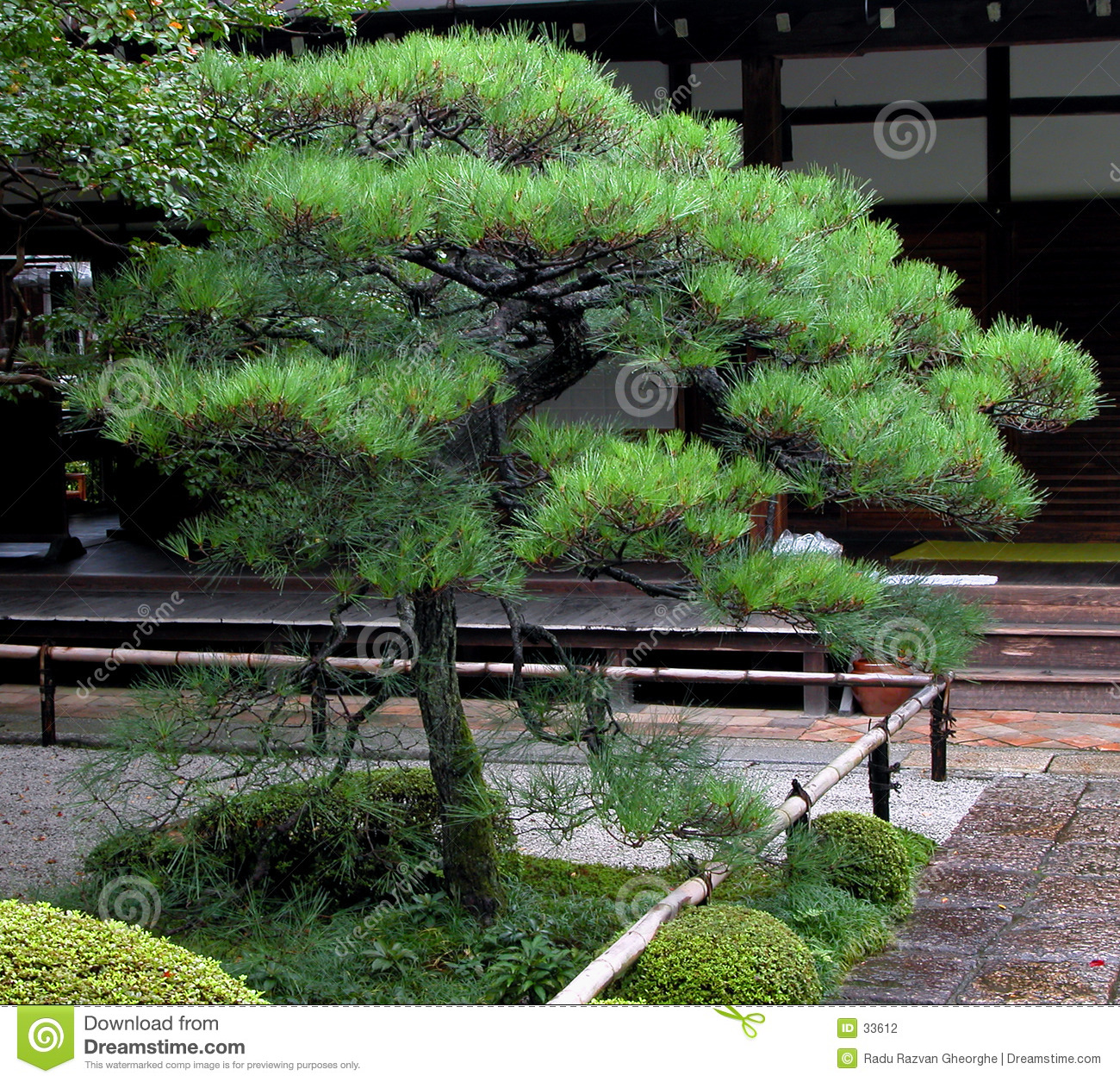 characteristic Japanese pine tree,specially arranged.