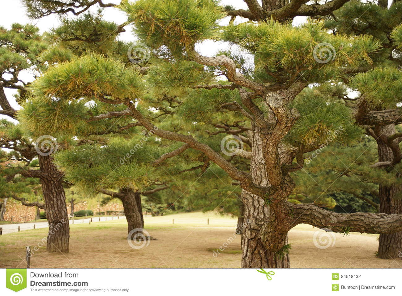 Japanese Pine Trees In The Garden Stock Photo - Image of pine ...