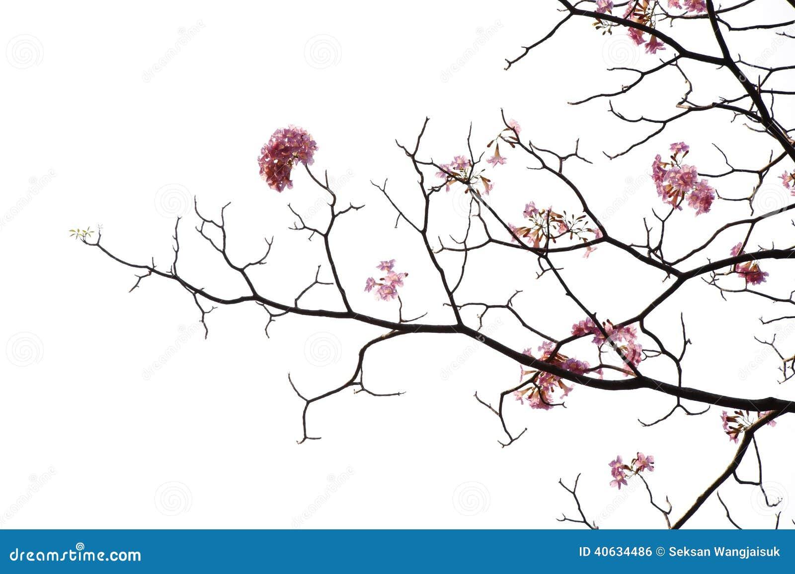 Japanese Pink Flower On White Background Stock Photo Image Of