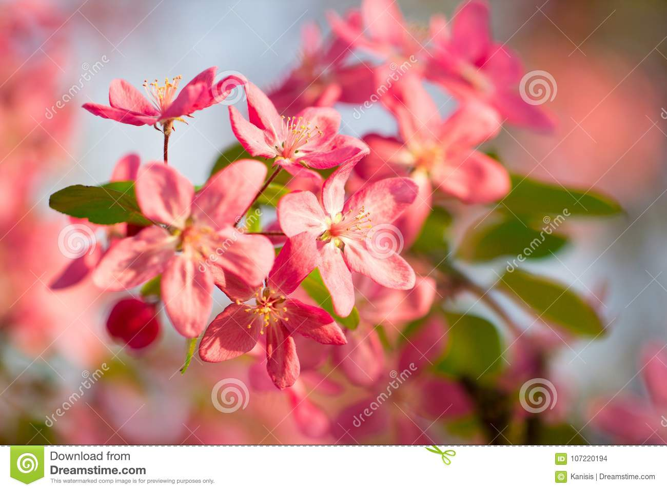Japanese Pink And Red Cherry Tree Flower Blossom Stock Photo Image